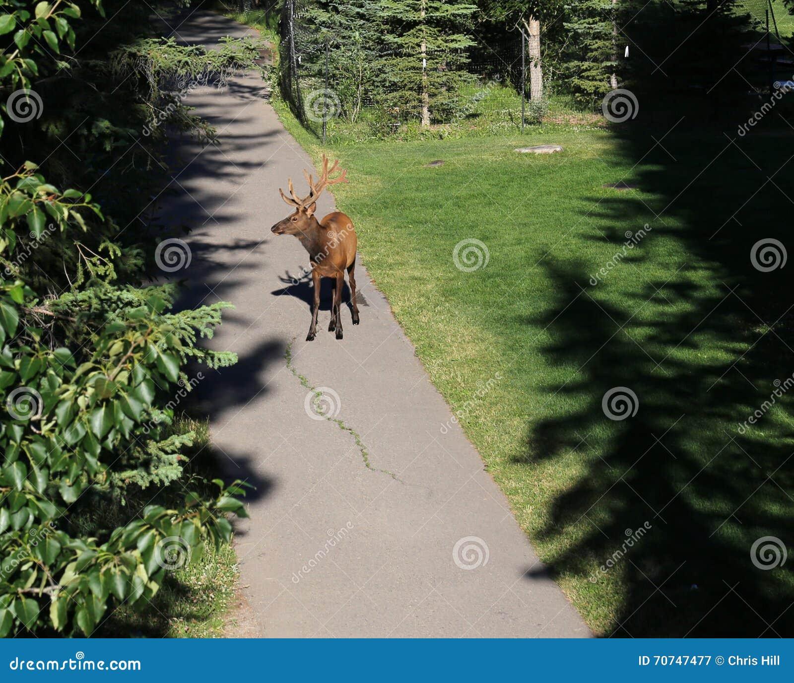 Лось в Banff Central Park