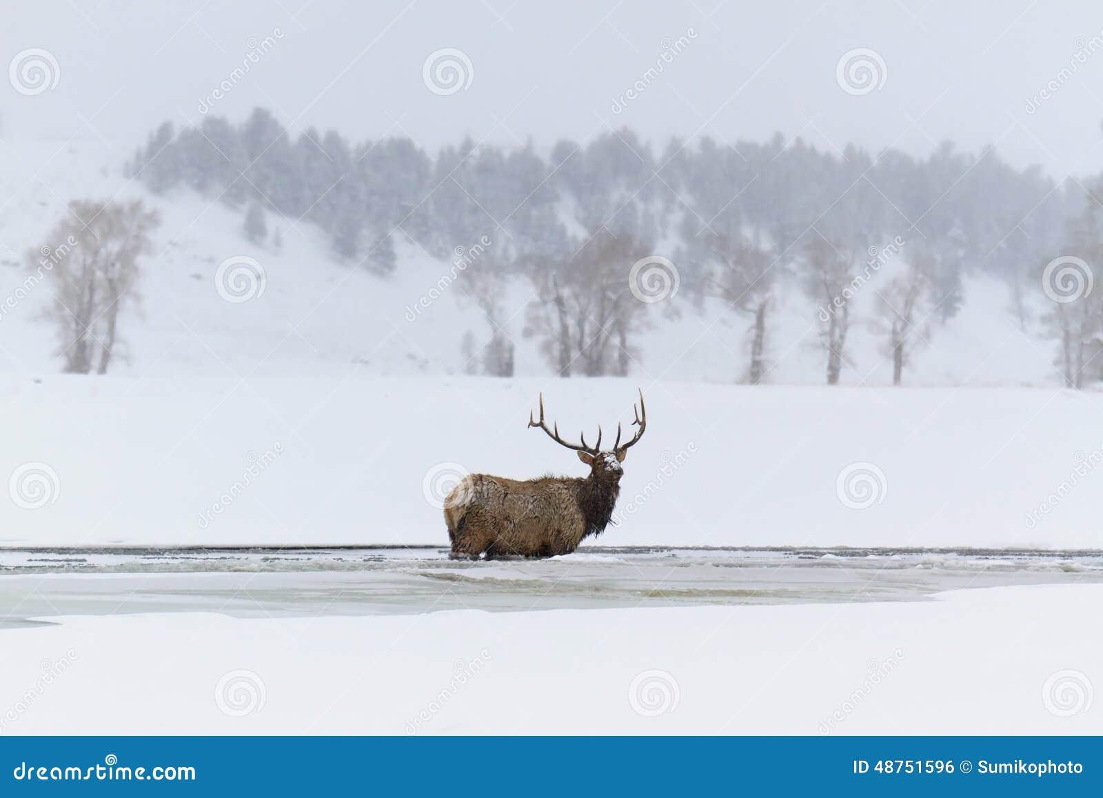 Лось зимы