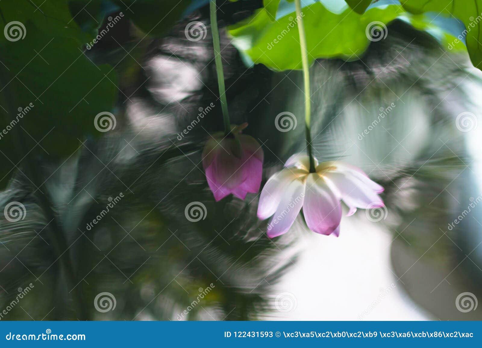 лотос цветка цветеня полный