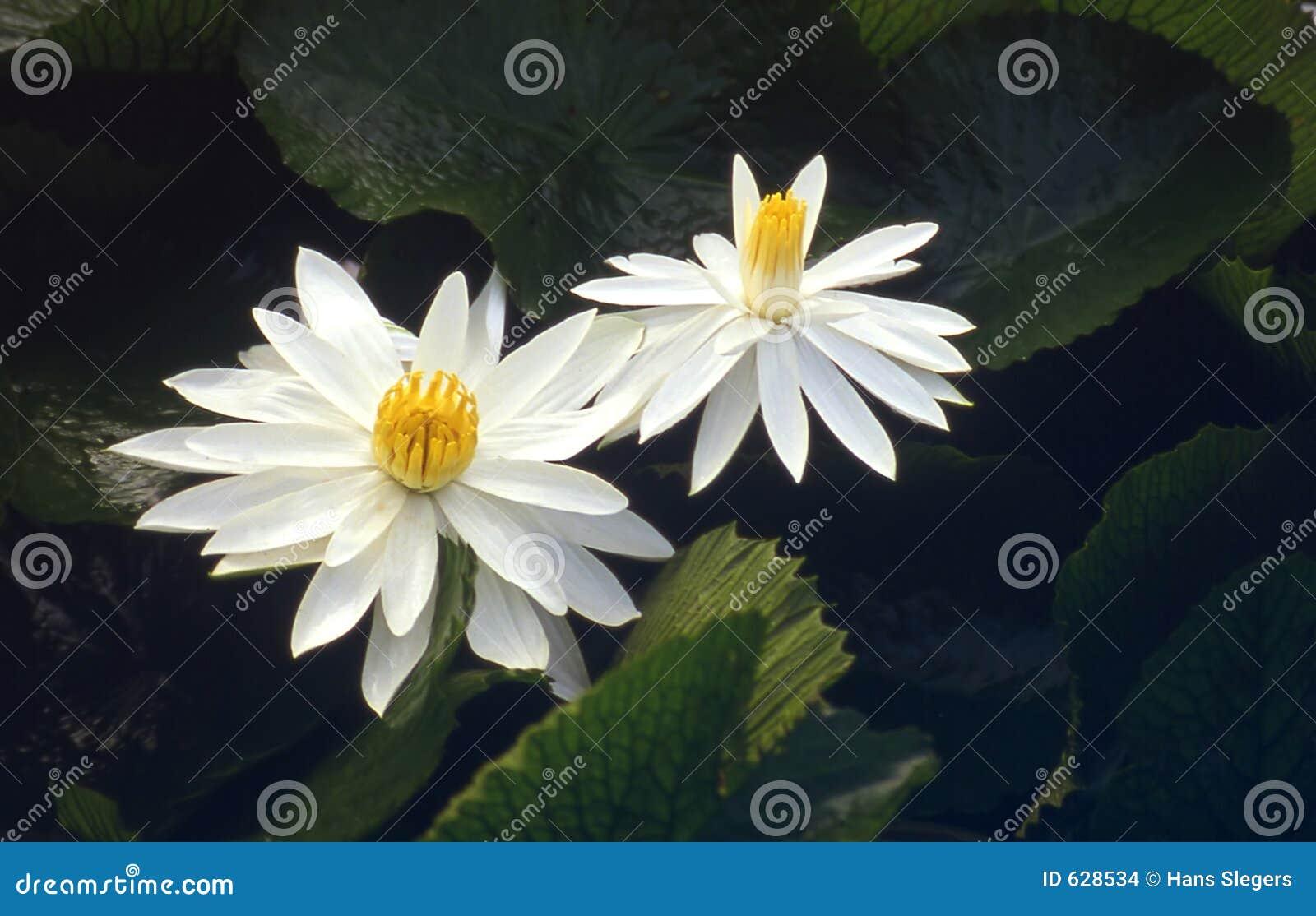Download лотос цветка стоковое фото. изображение насчитывающей листья - 628534