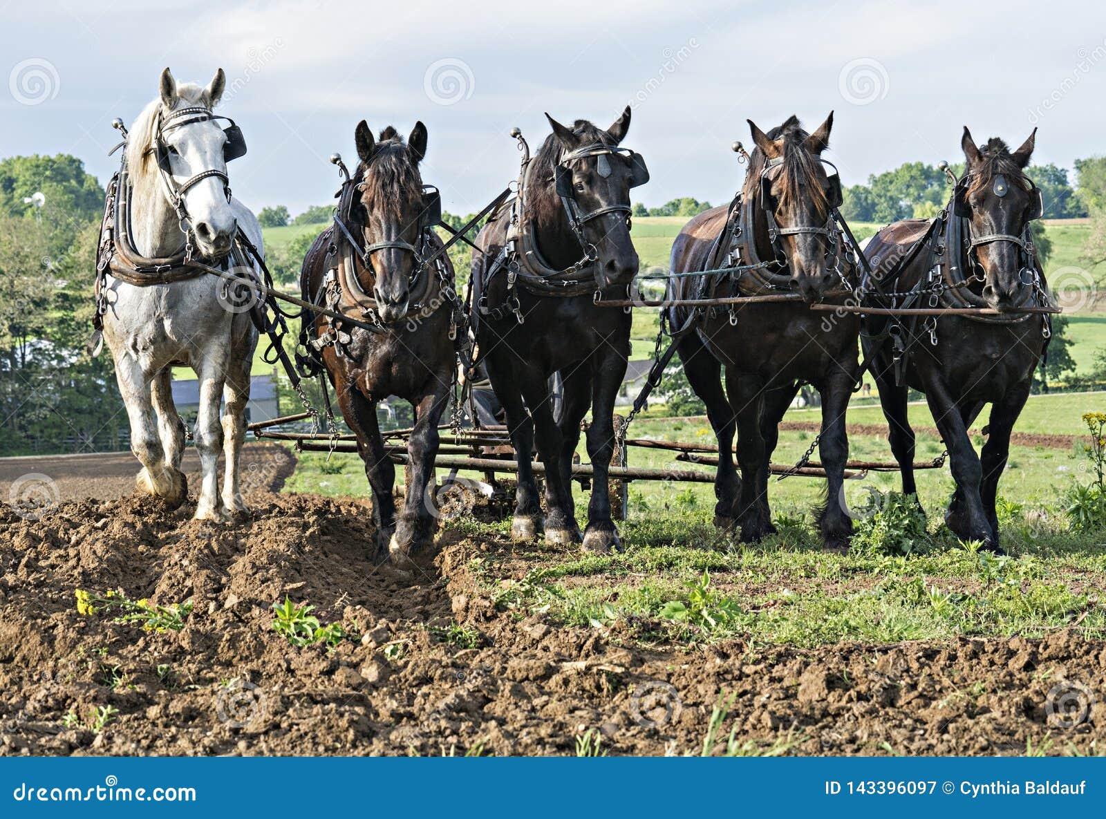 Лошади вытягивая совместно в команде