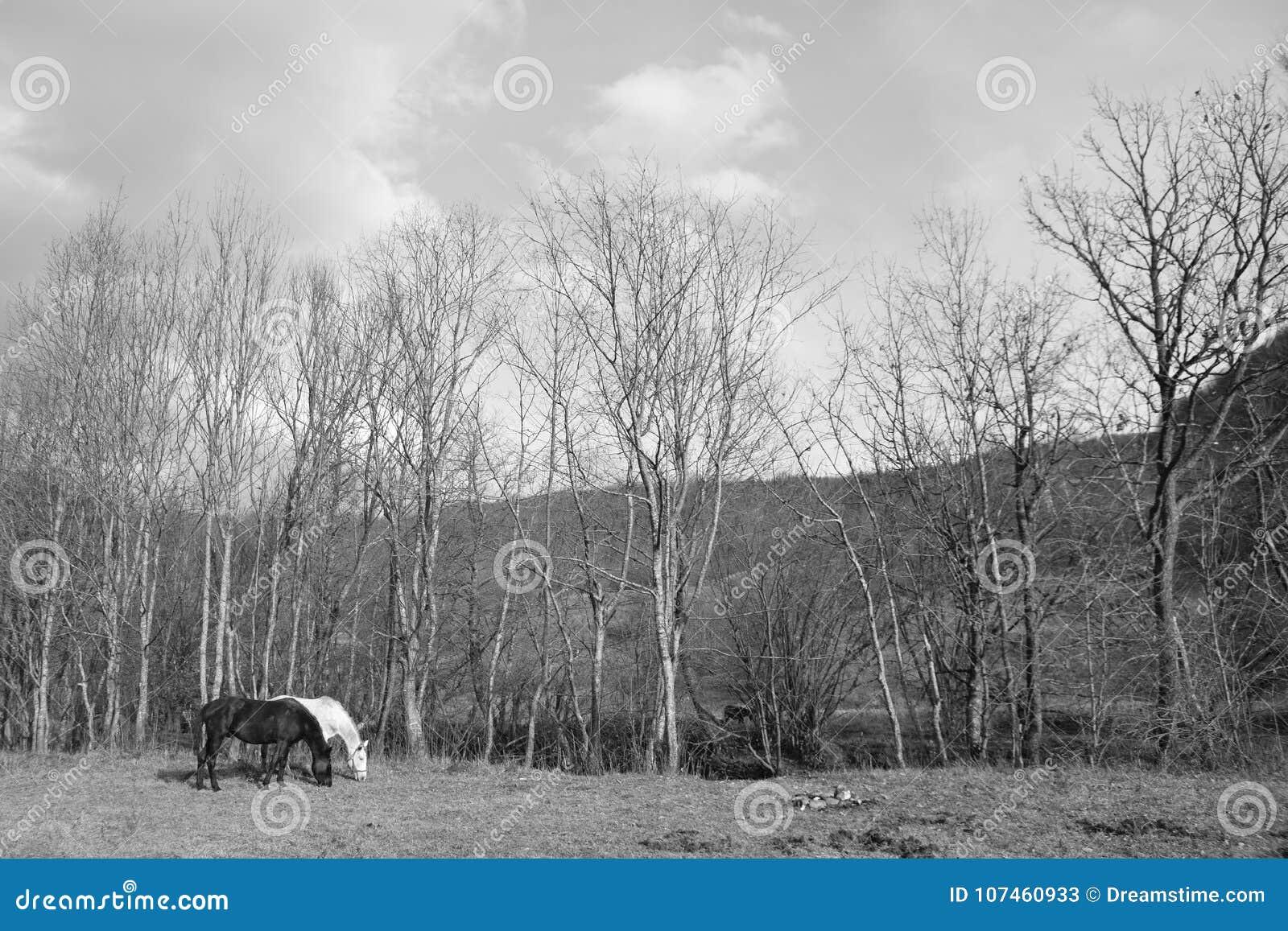 2 лошади один пасти белизны одного черный на открытом луге