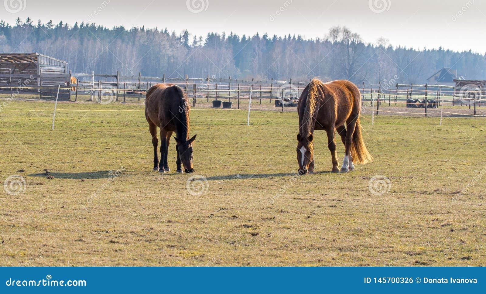 2 лошади пасут в луге Лошади Twain красивые