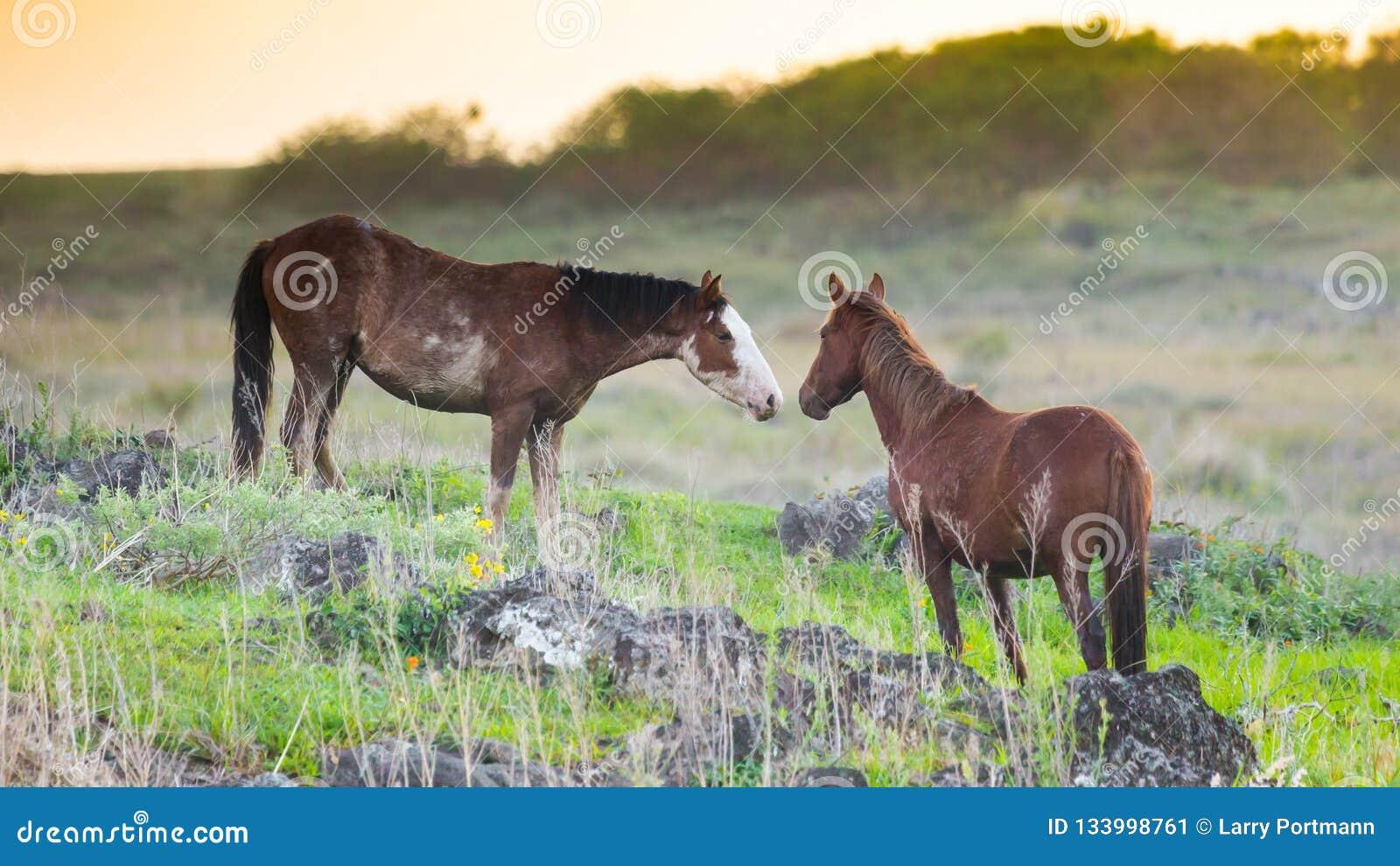 Лошади приветствуя остров пасхи одина другого