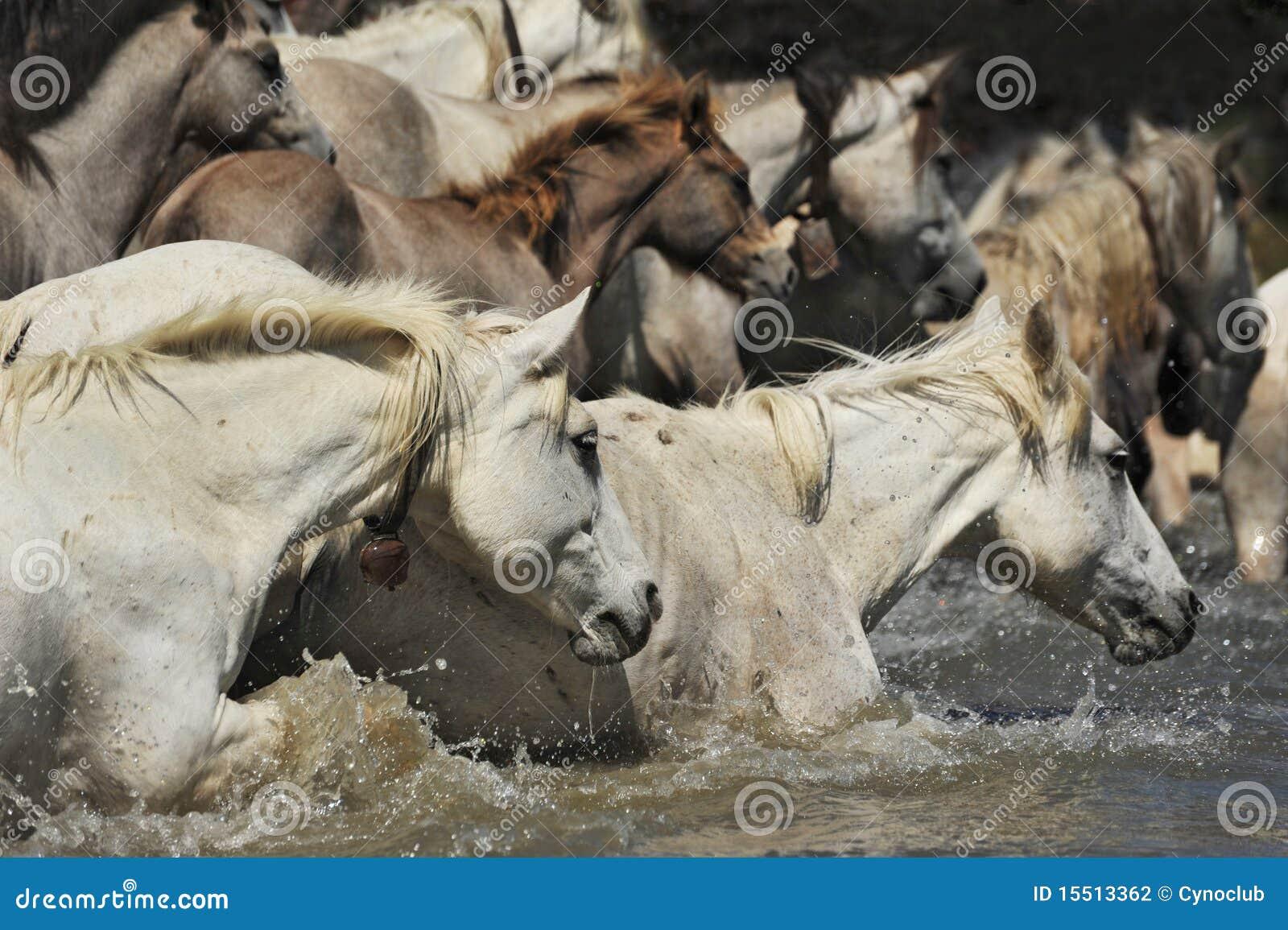 лошади табуна camargue