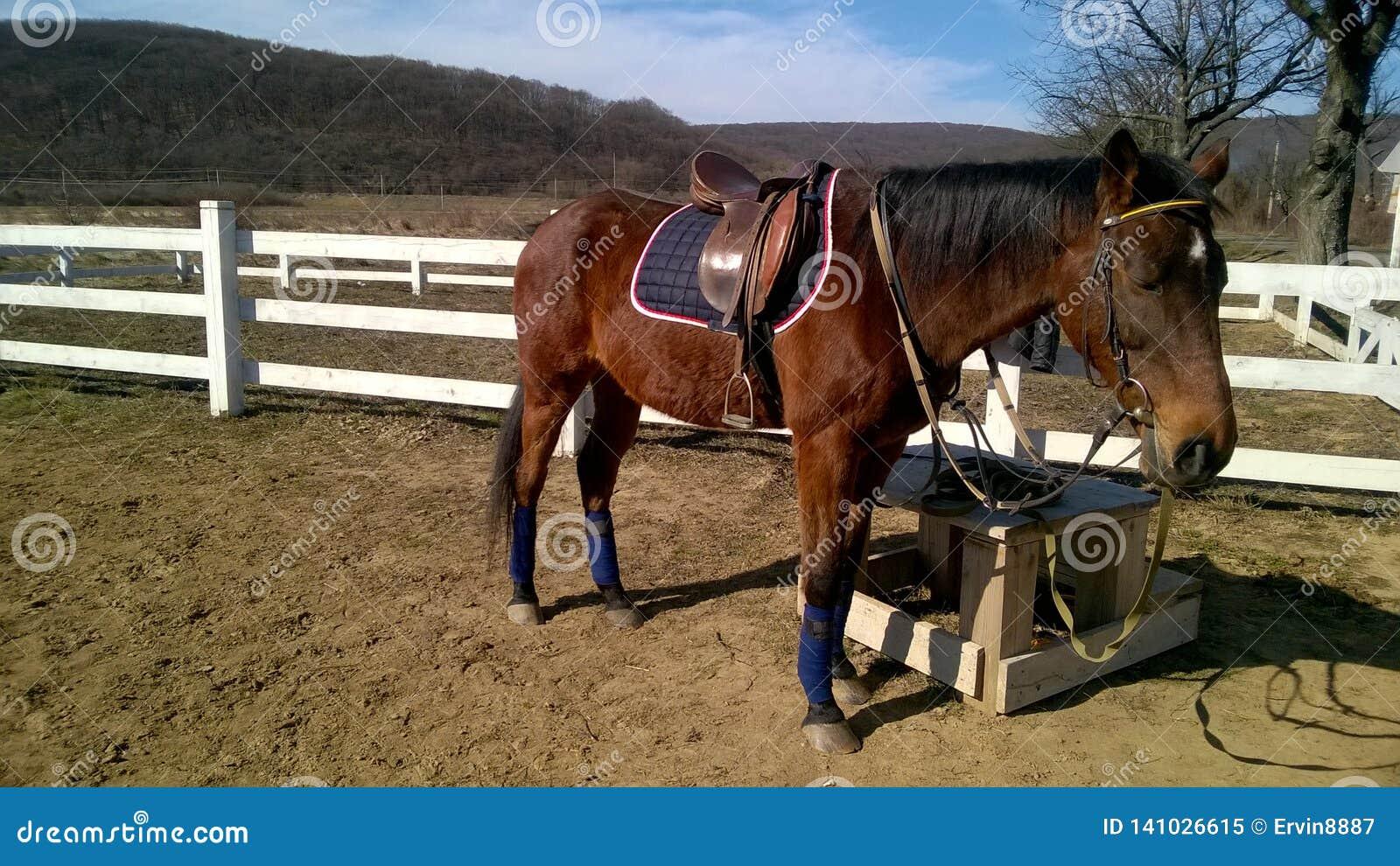 Лошадь спорта перед тренировкой ожидает всадника