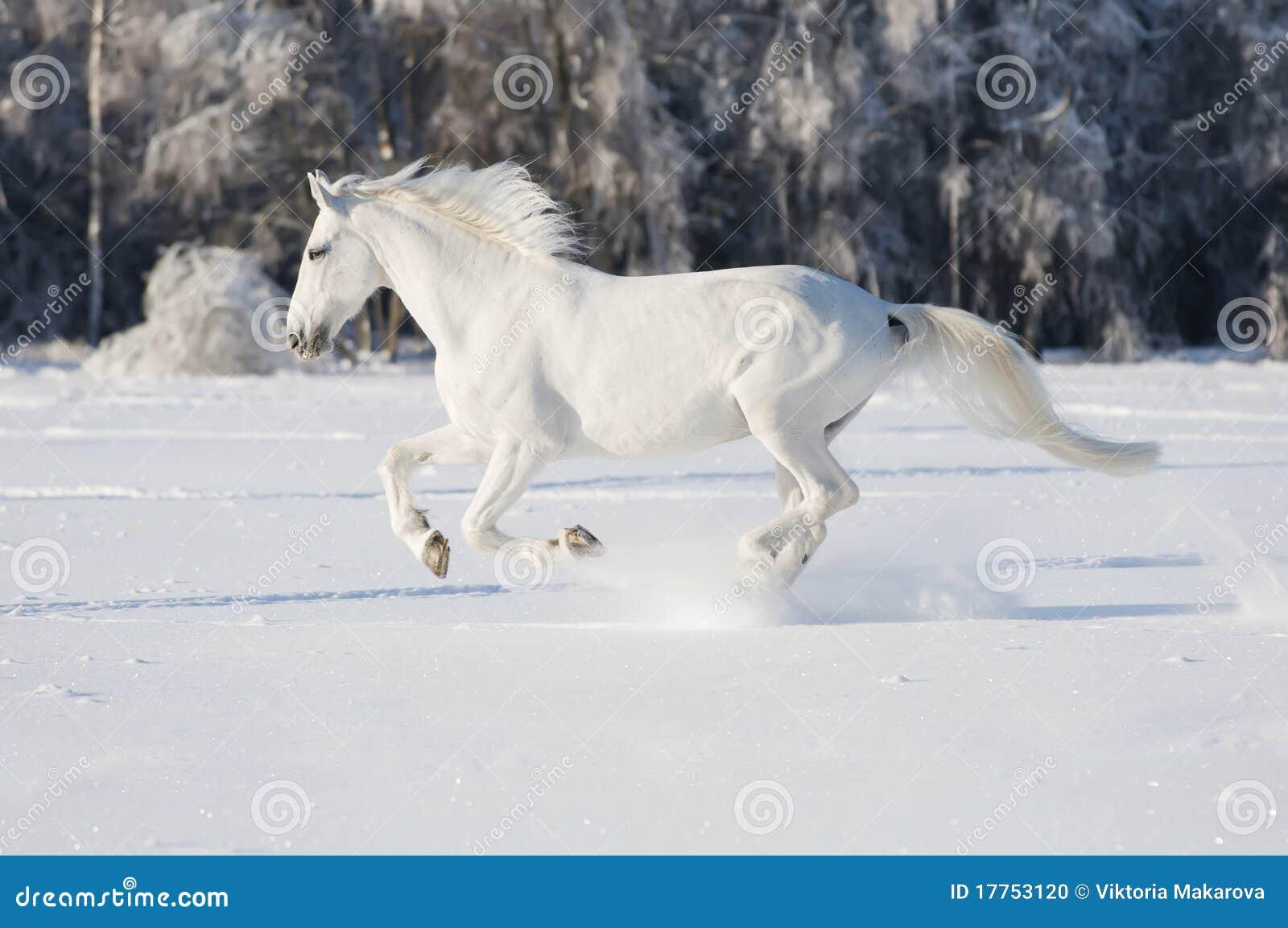 лошадь gallop бежит белизна