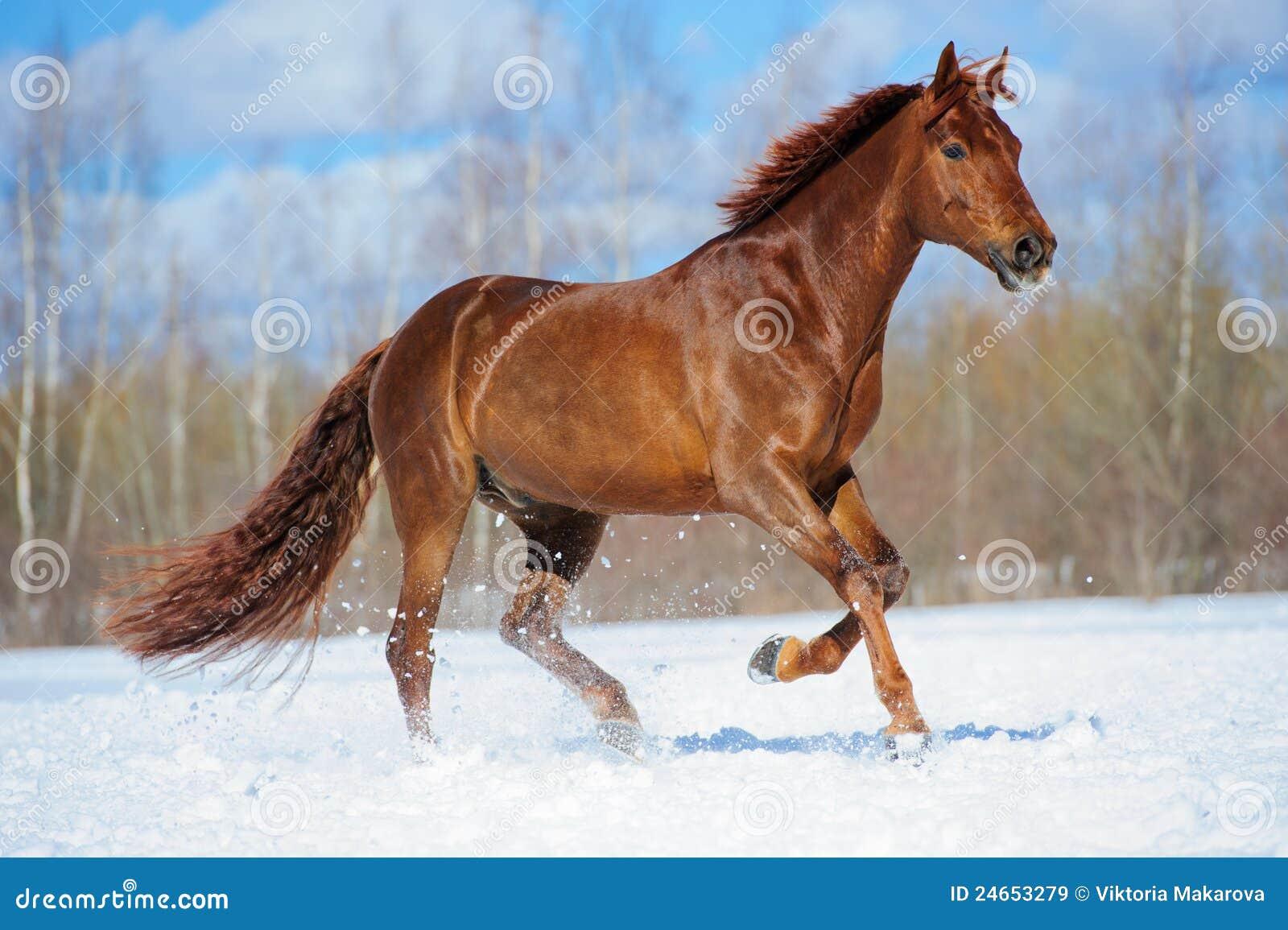 лошадь gallop каштана бежит зима