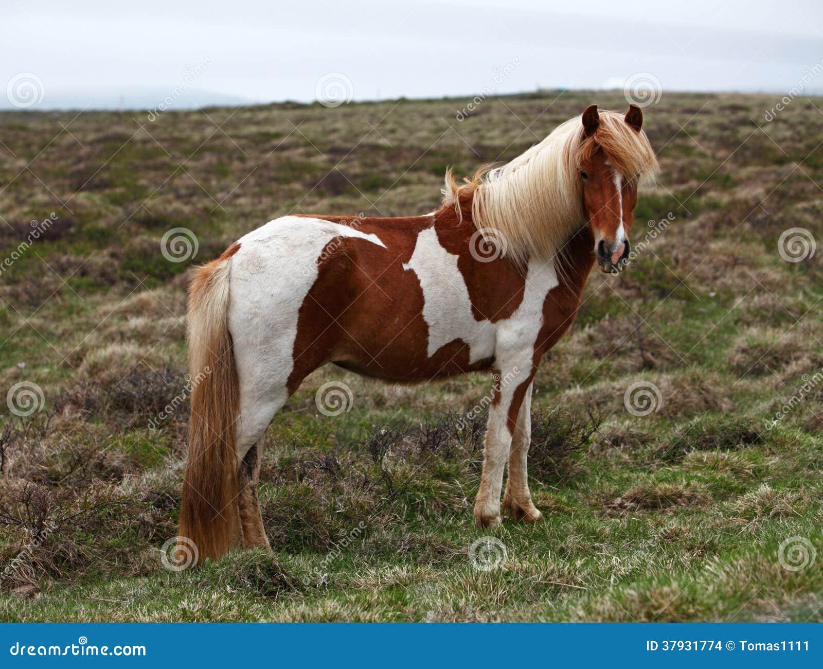Лошадь Исландии