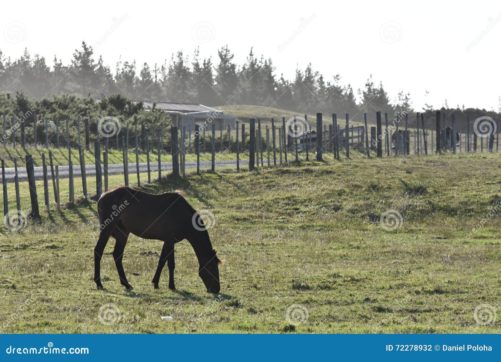 Download Лошадь пася ограженную область Стоковое Фото - изображение насчитывающей лето, brougham: 72278932