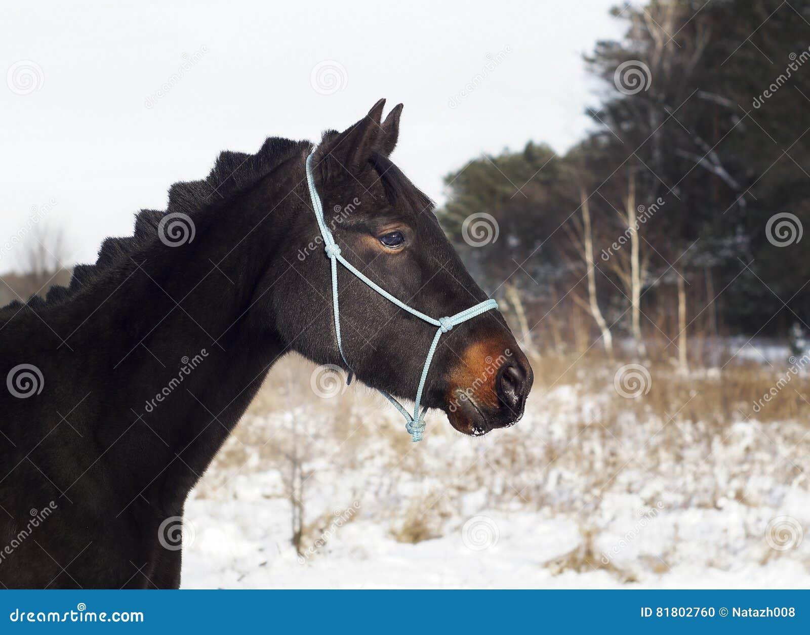 Лошадь стоит на снеге на предпосылке соснового леса в зиме