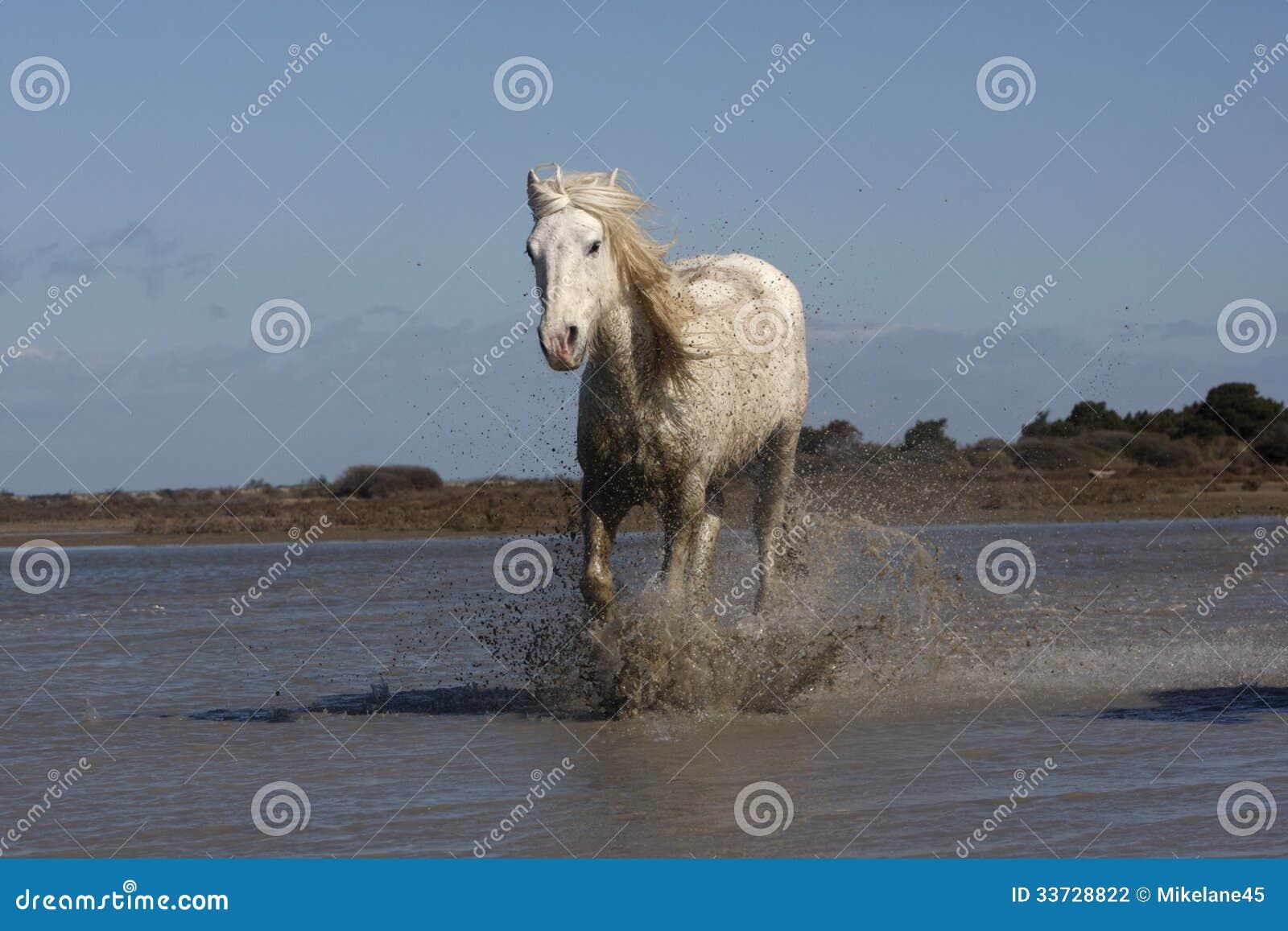 Лошадь Camargue белая