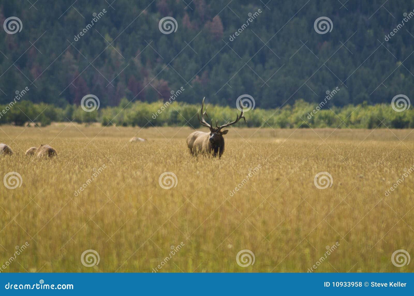 лужок лося быка