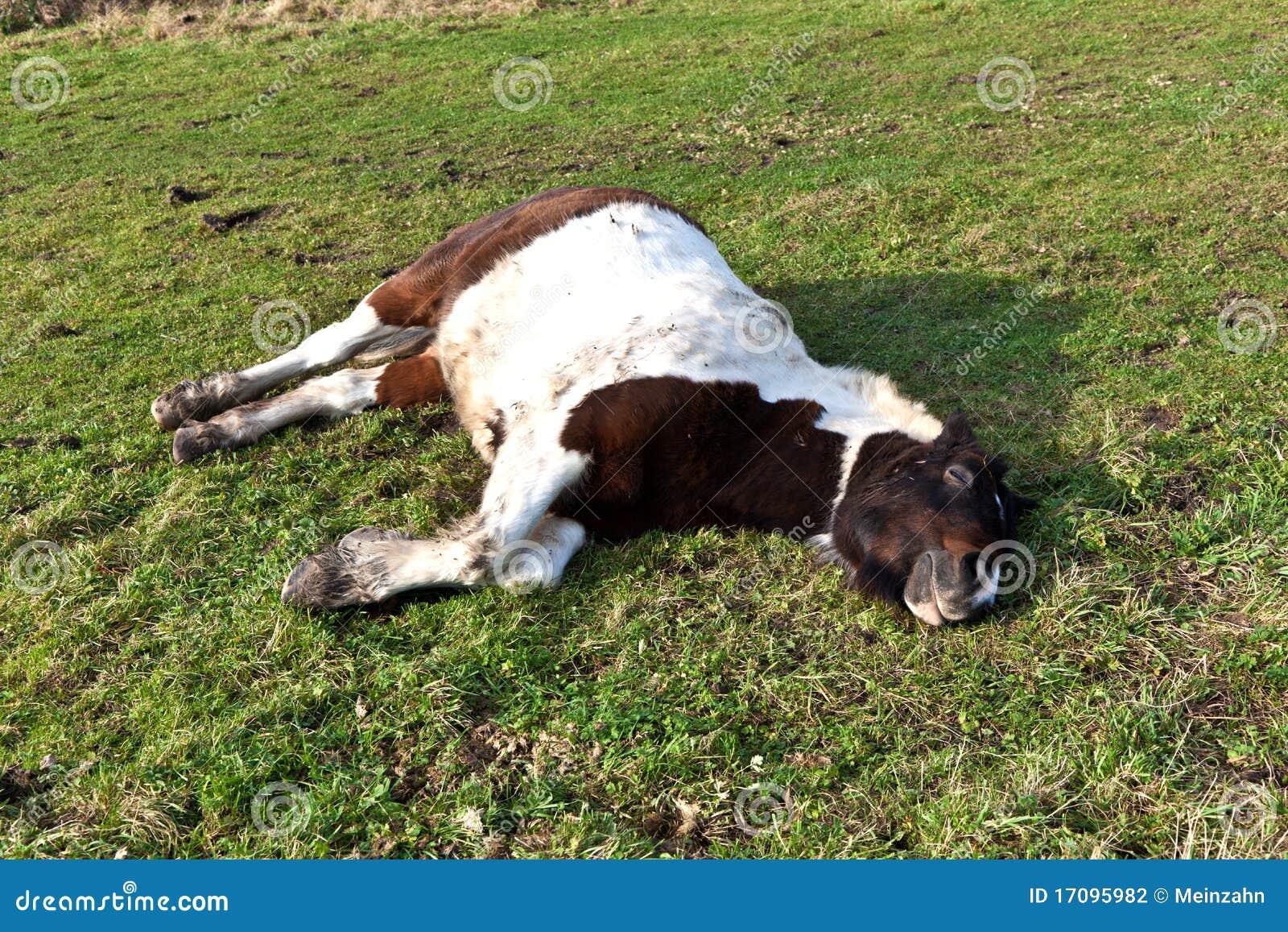 лужок лошади лежа