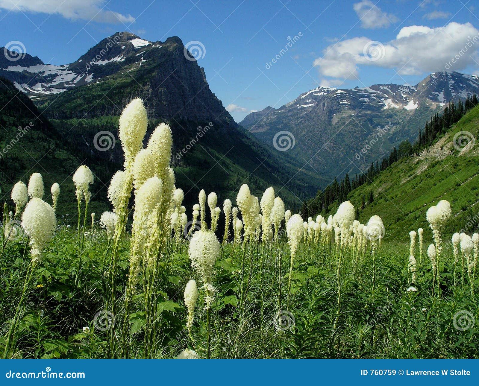 лужок beargrass