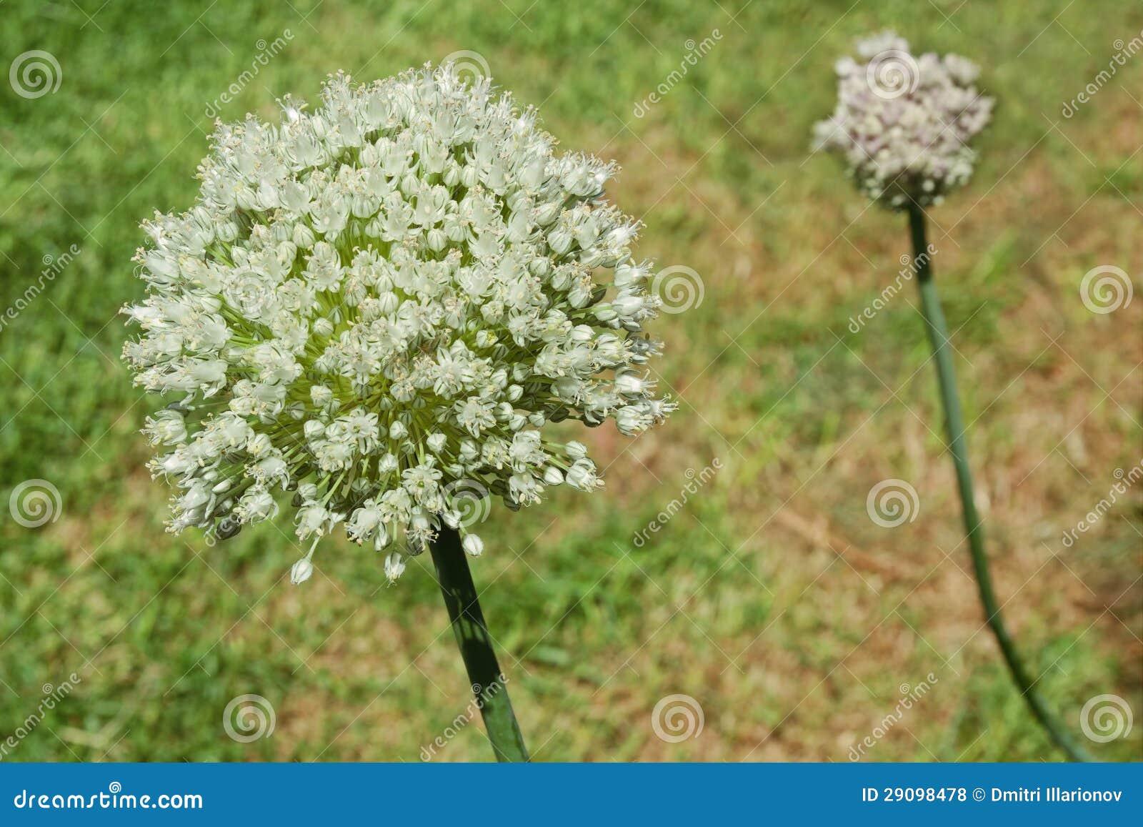 Лук-порей в цветении