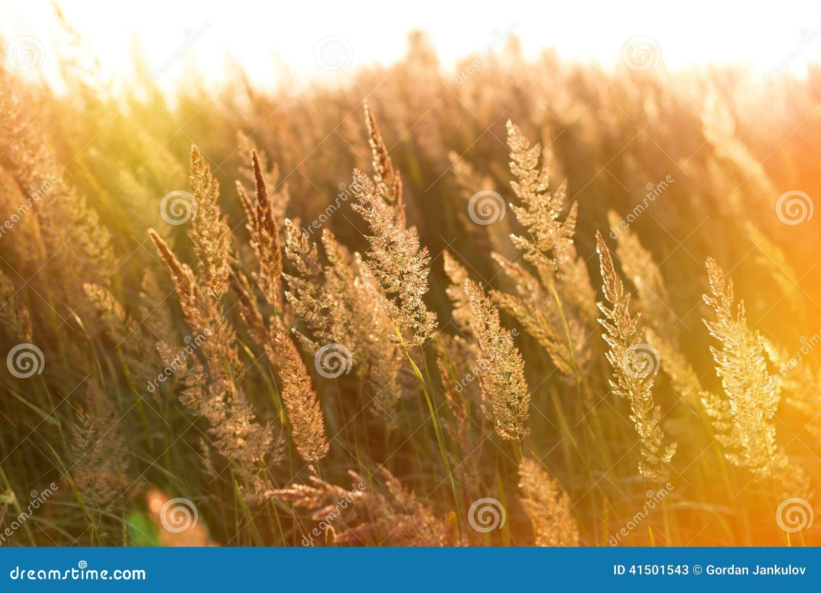 Лучи заходящего солнца на высокой траве