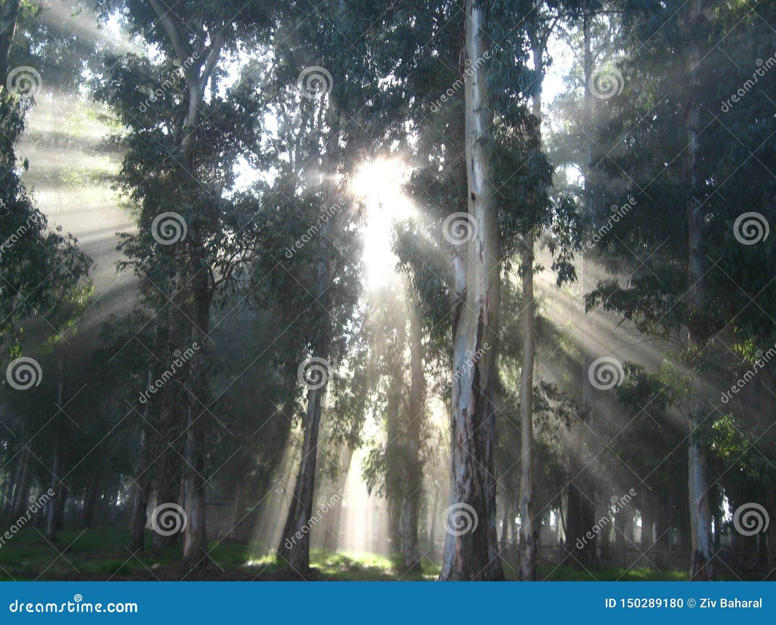 Лучи солнца в восходе солнца в тумане, в загадочном лесе