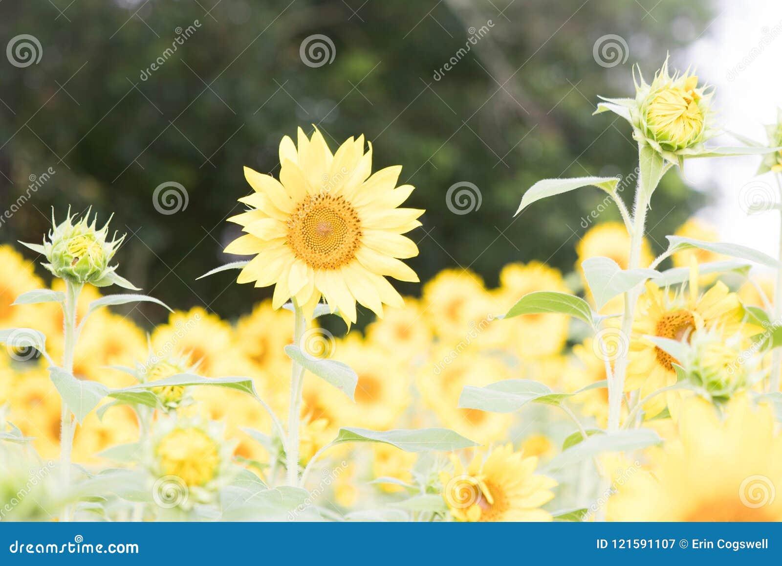 Лучший из лучших среди солнцецветов на ферме солнцецвета Андерсона