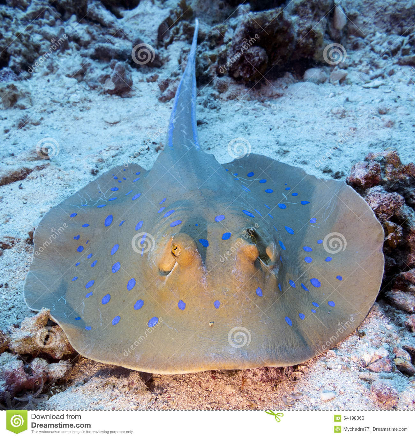 Луч Bluespotted (lymma Taeniura) в тропическом море, подводном