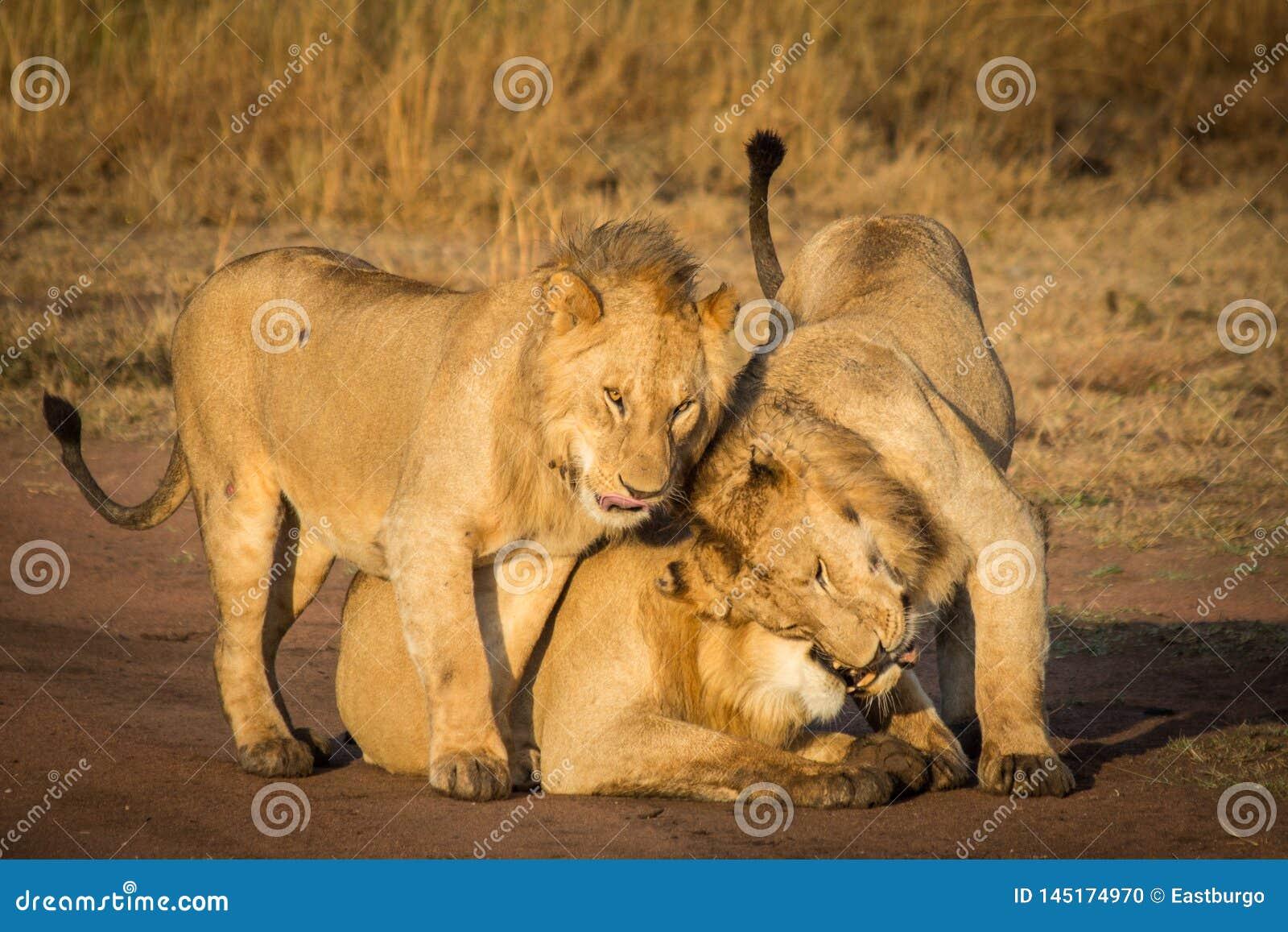3 льва прижимаются