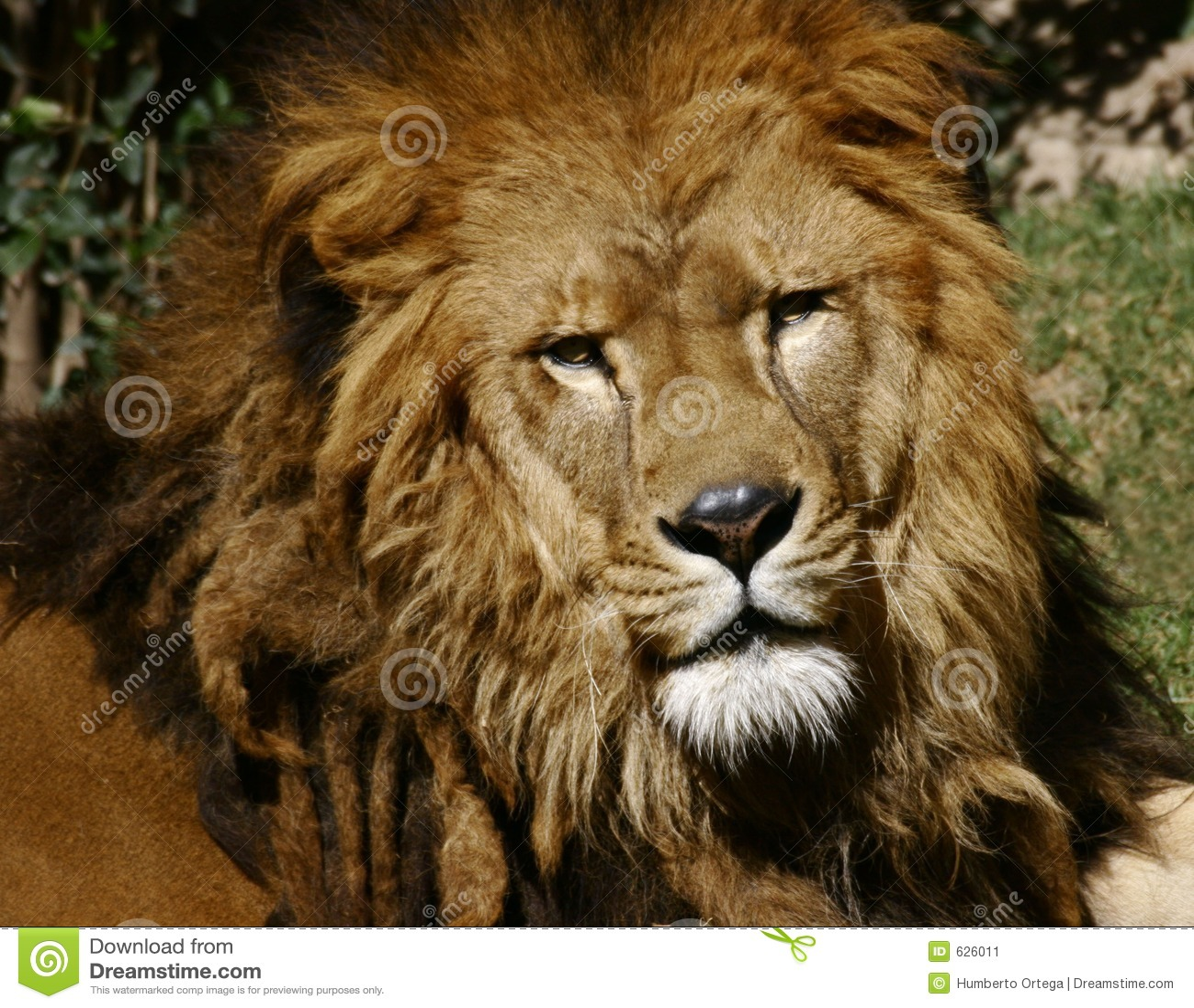 Download львев стоковое изображение. изображение насчитывающей звероловство - 626011