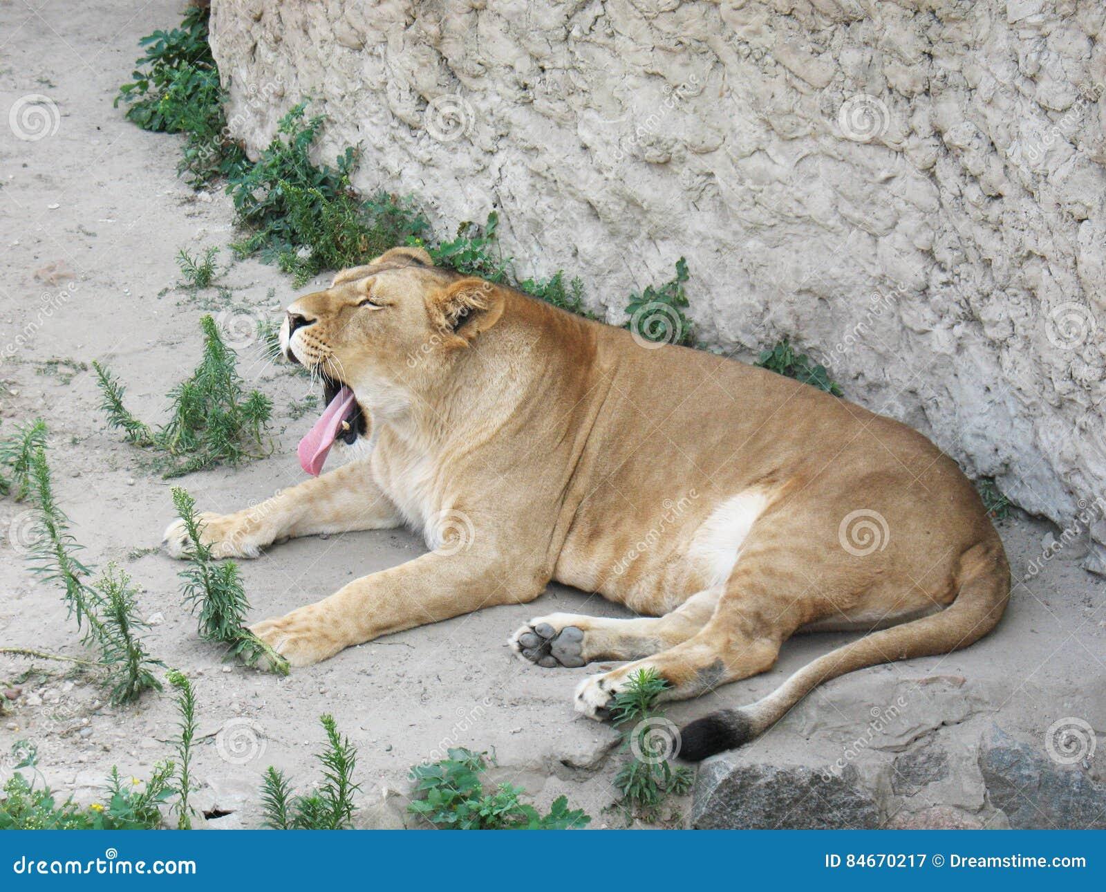 Львица зевает