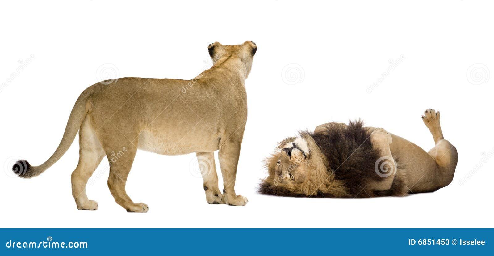 львица льва