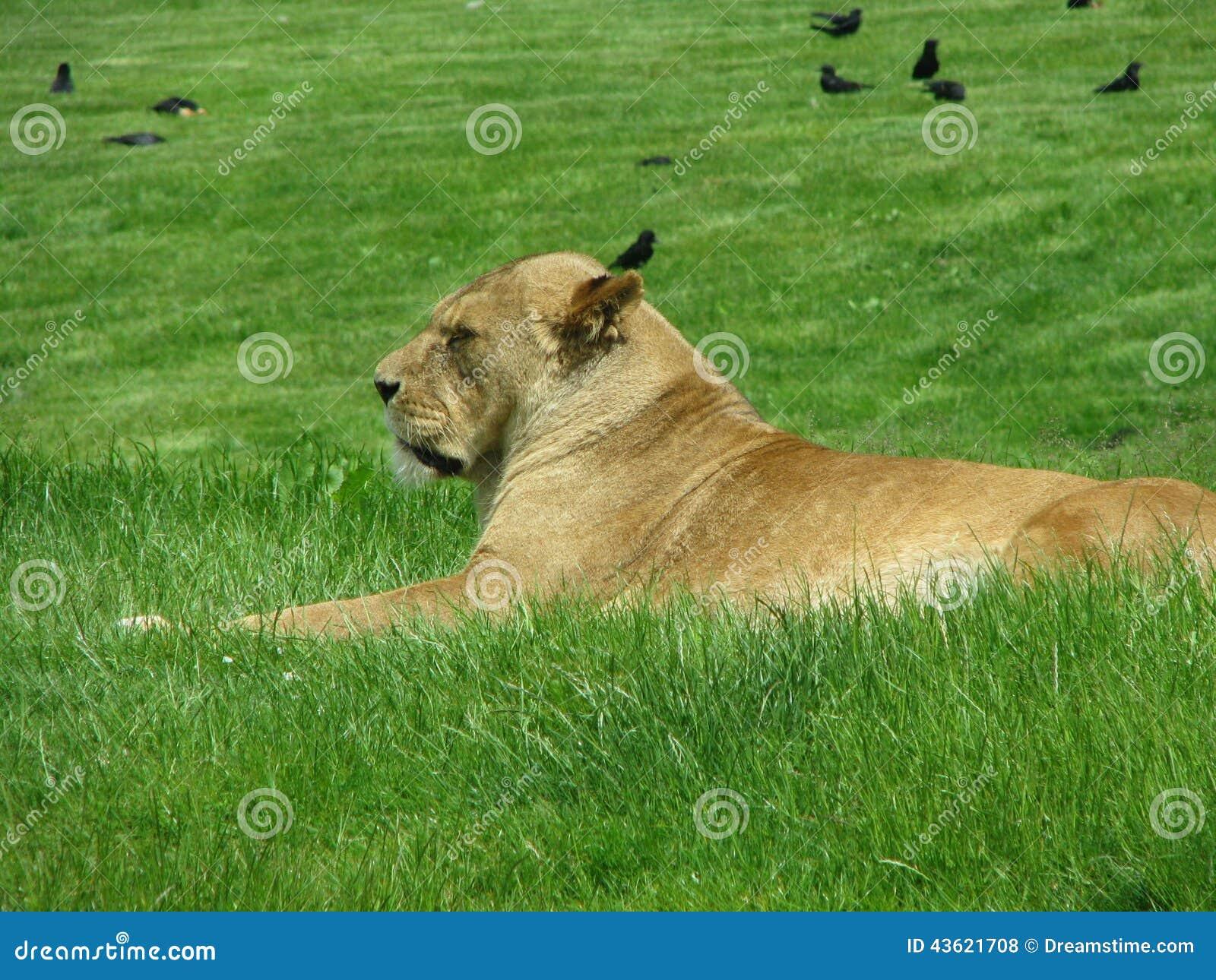 львица на кровати