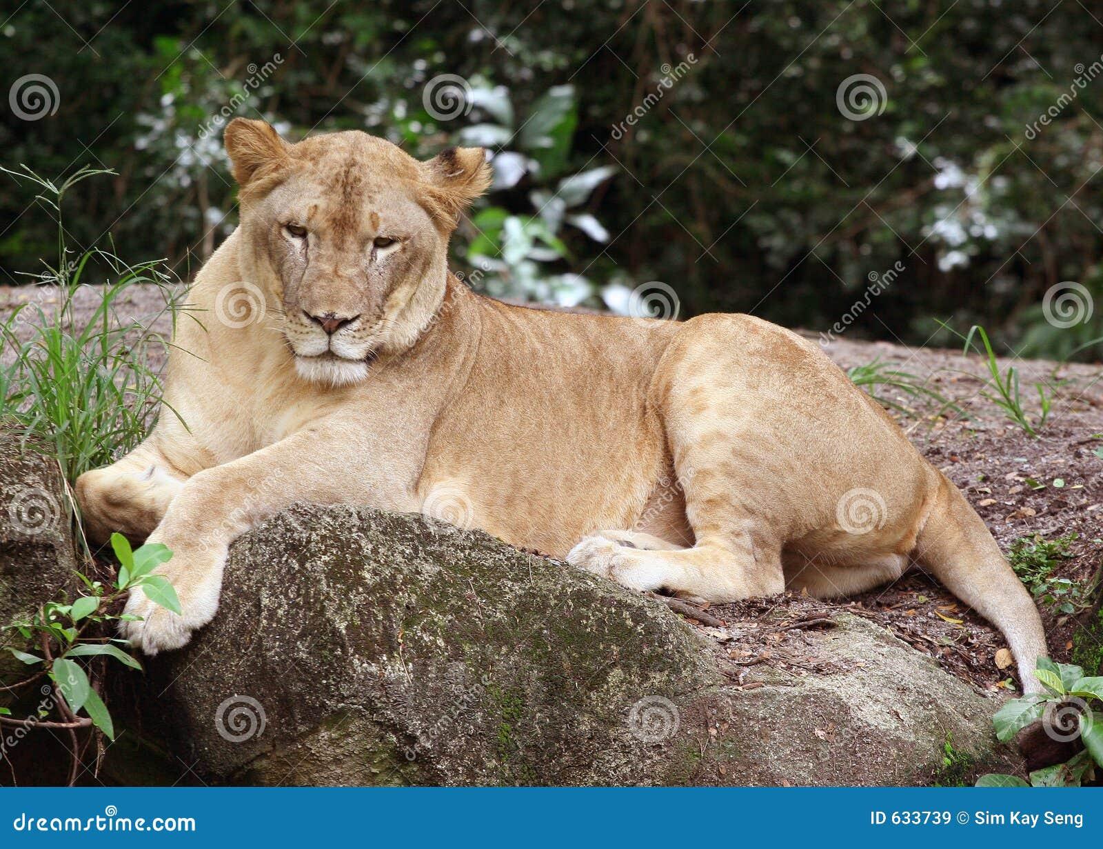 Download львица стоковое изображение. изображение насчитывающей красивейшее - 633739