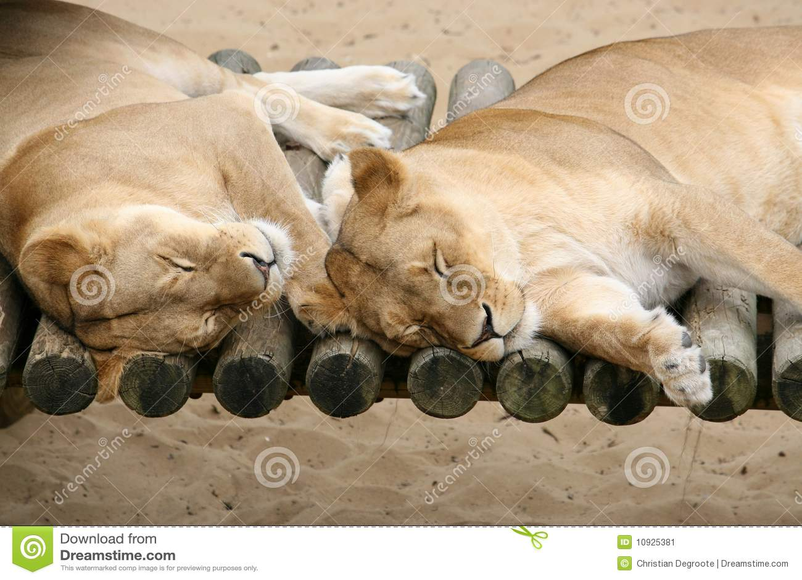 львы пар ленивые