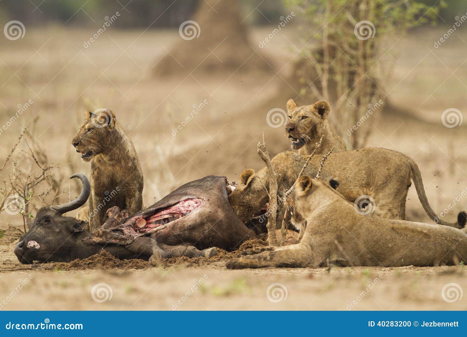 Львы подавая на убийстве