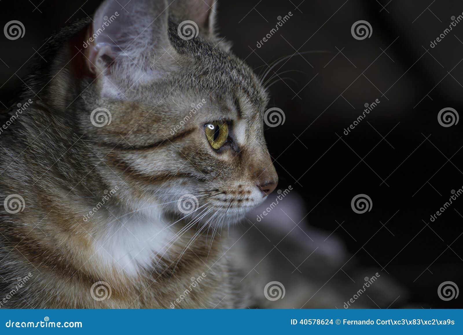 Любимчик, прелестный общий tabby волос кота