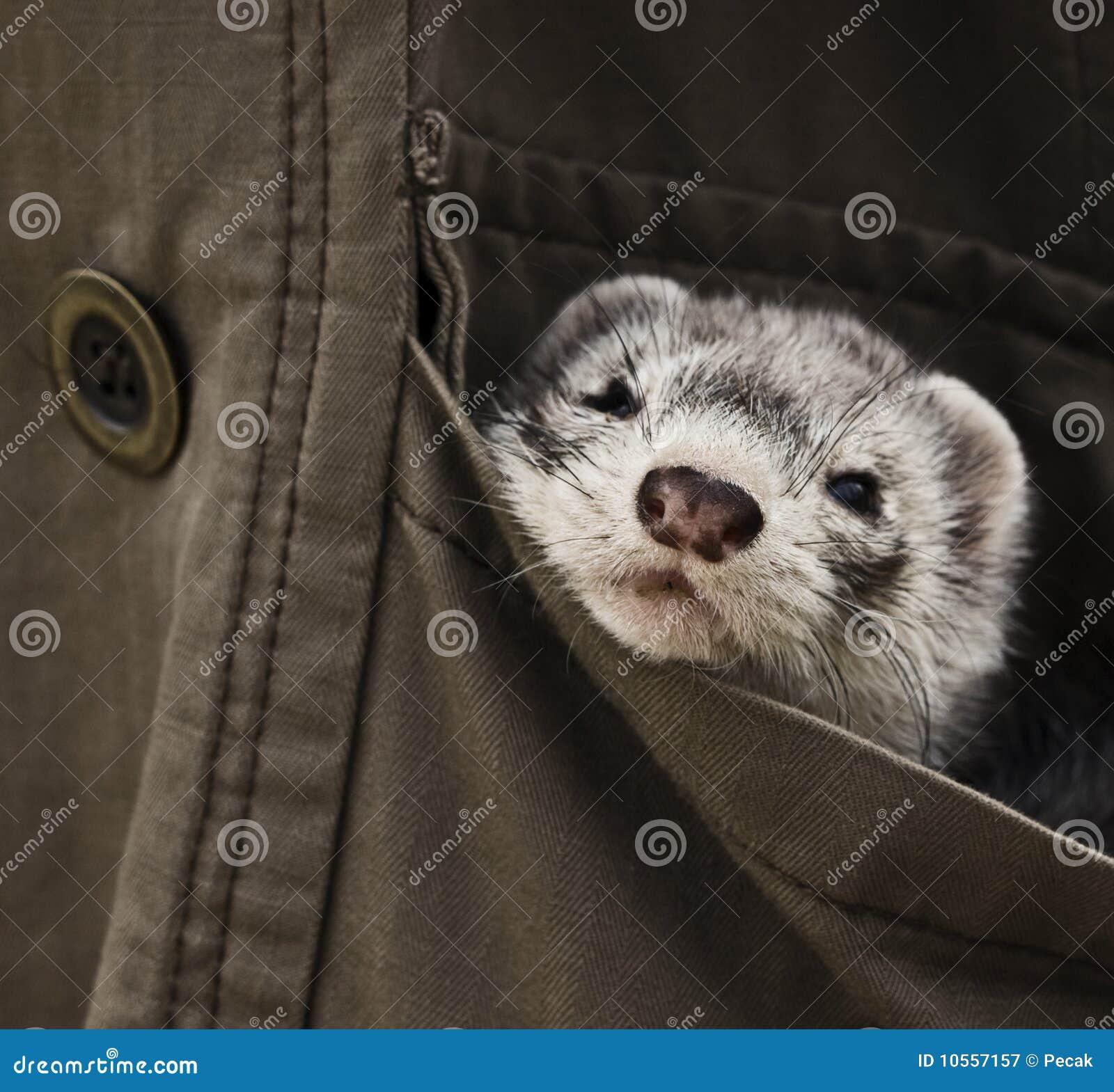 любимчик ferret