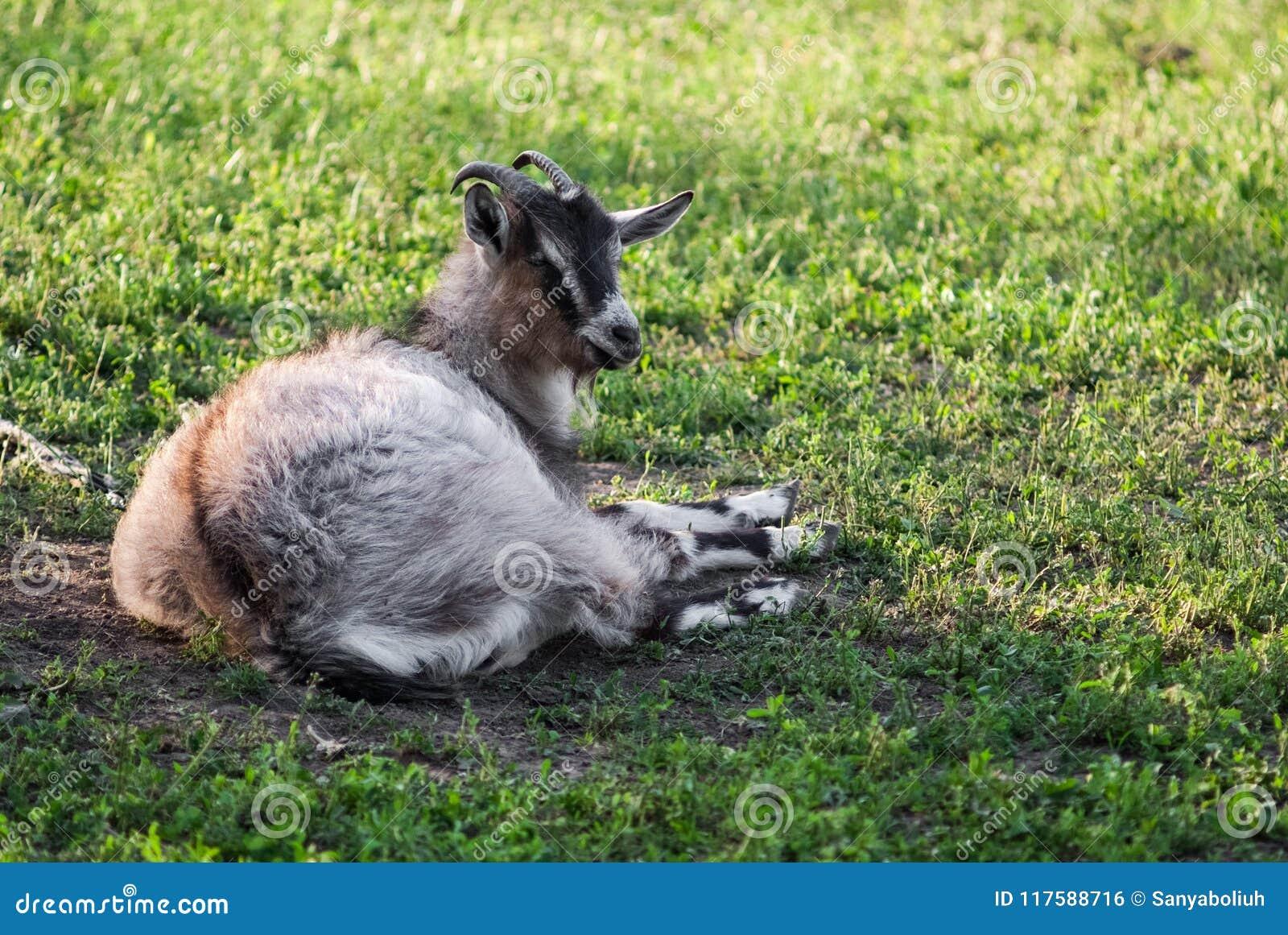 Любознательная счастливая коза пася на зеленой травянистой лужайке Портрет смешной козочки 7 животных серий иллюстрации фермы шар