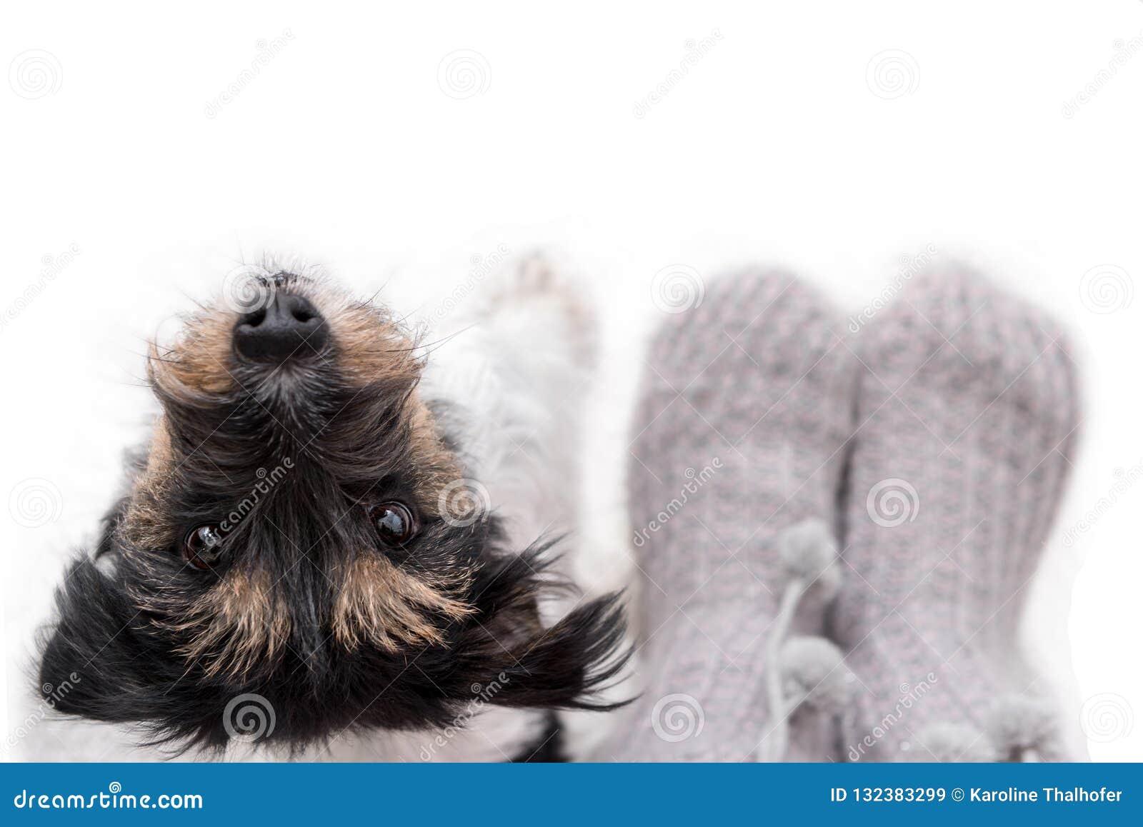 Любопытный маленький doggy терьера Джек Рассела выглядит милым пока стоящ рядом с его владельцем