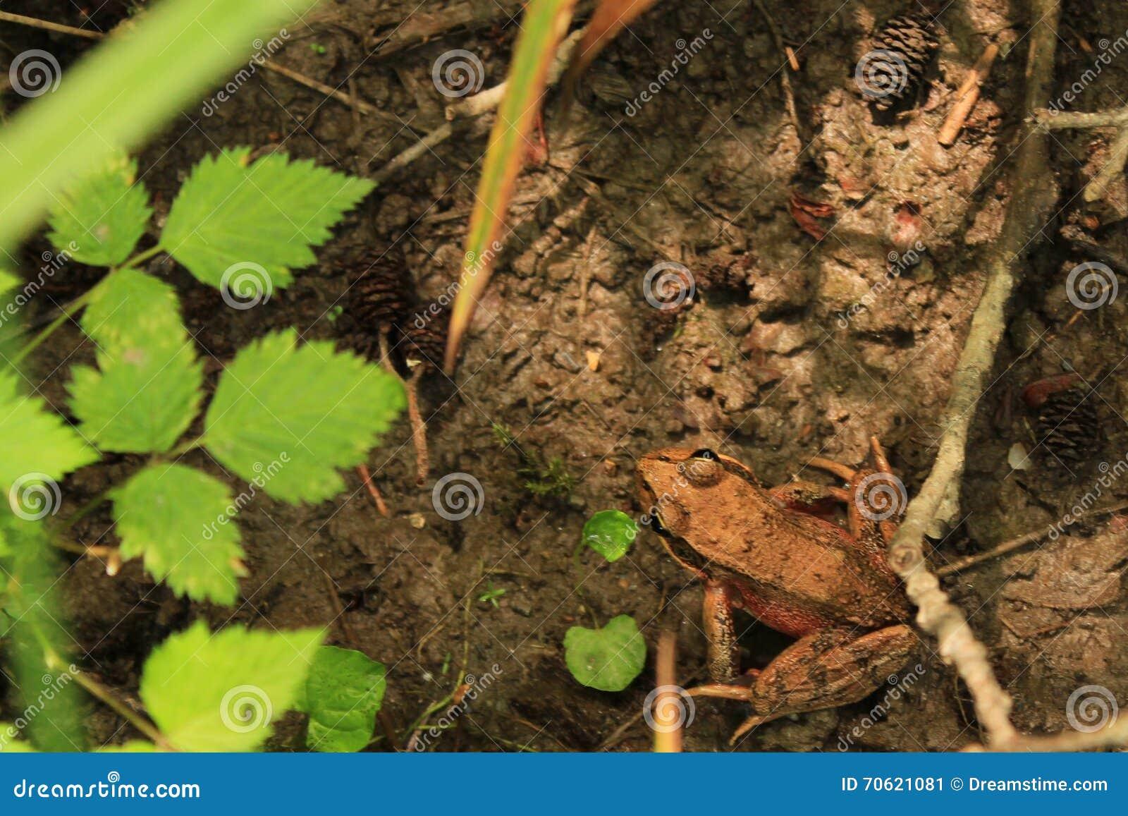 Лягушка Брайна на поле леса