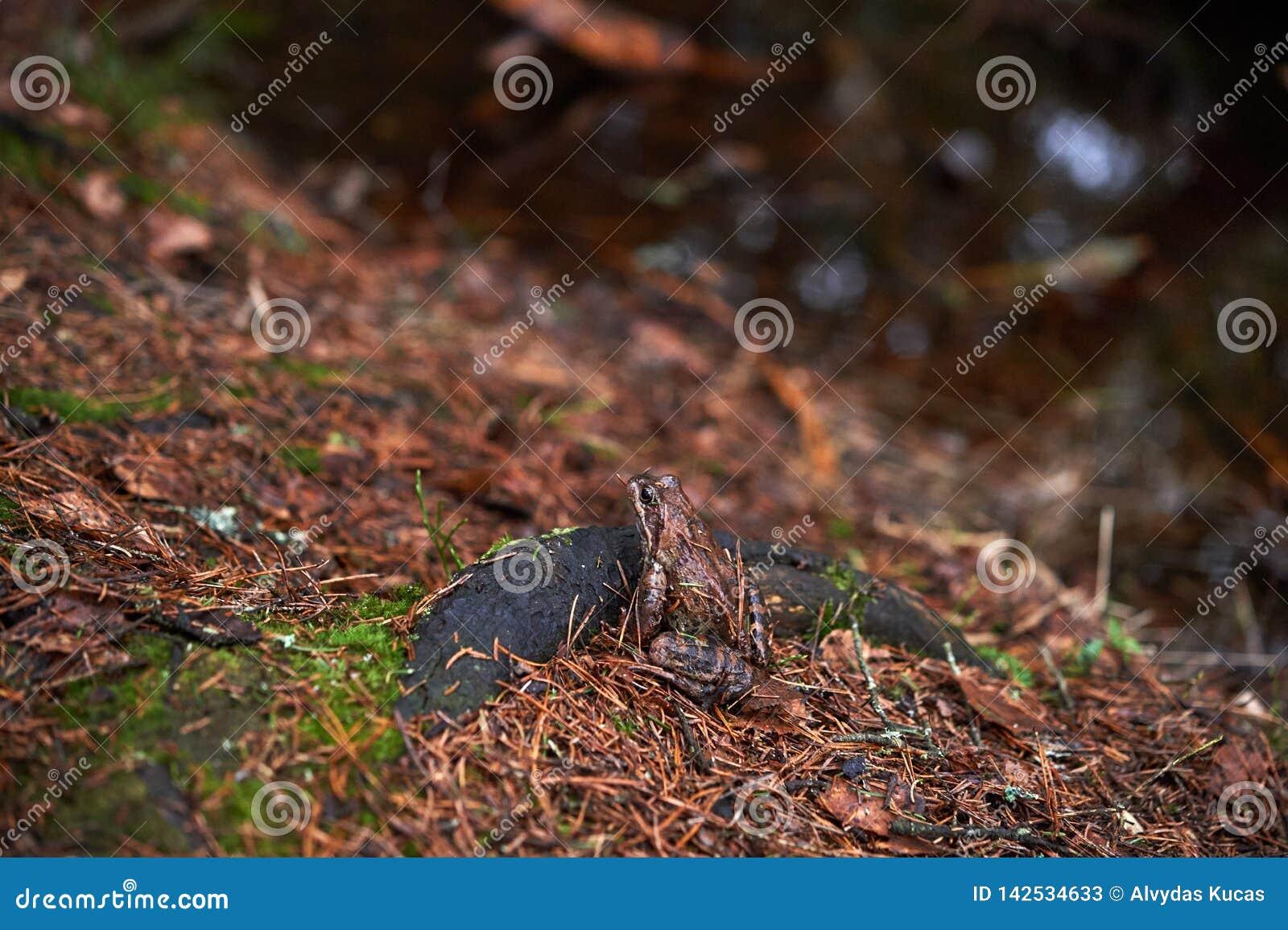 Лягушка Брауна в лесе