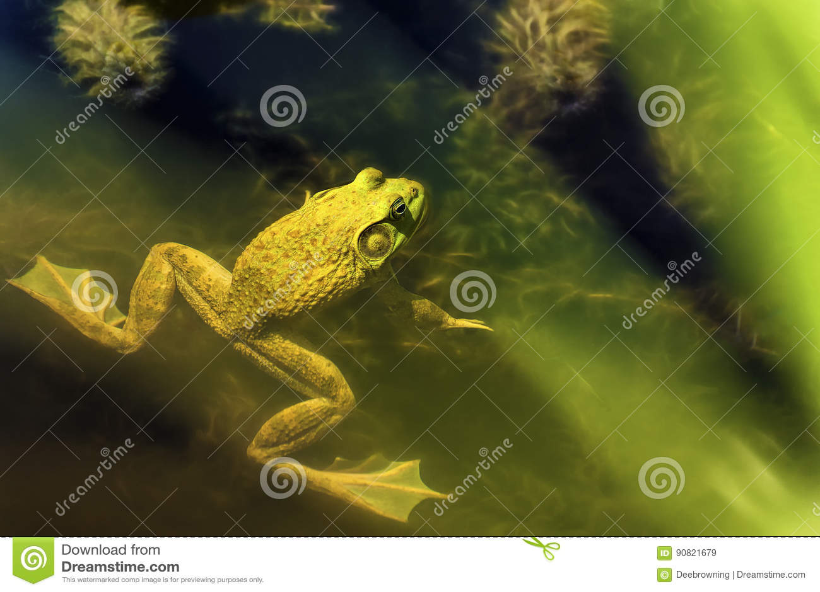 Лягушка-бык в пруде