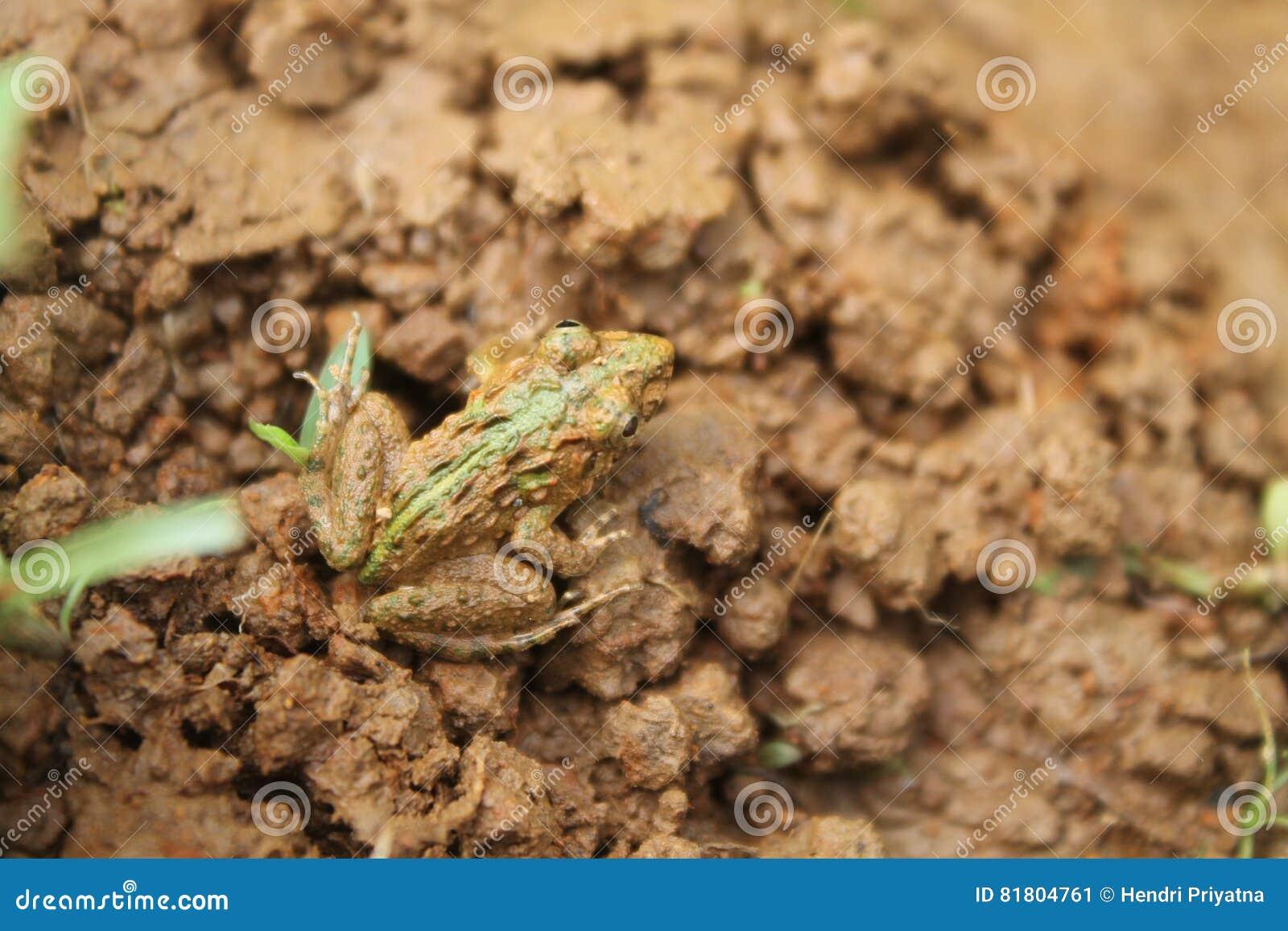 Лягушка камуфлирования с землей
