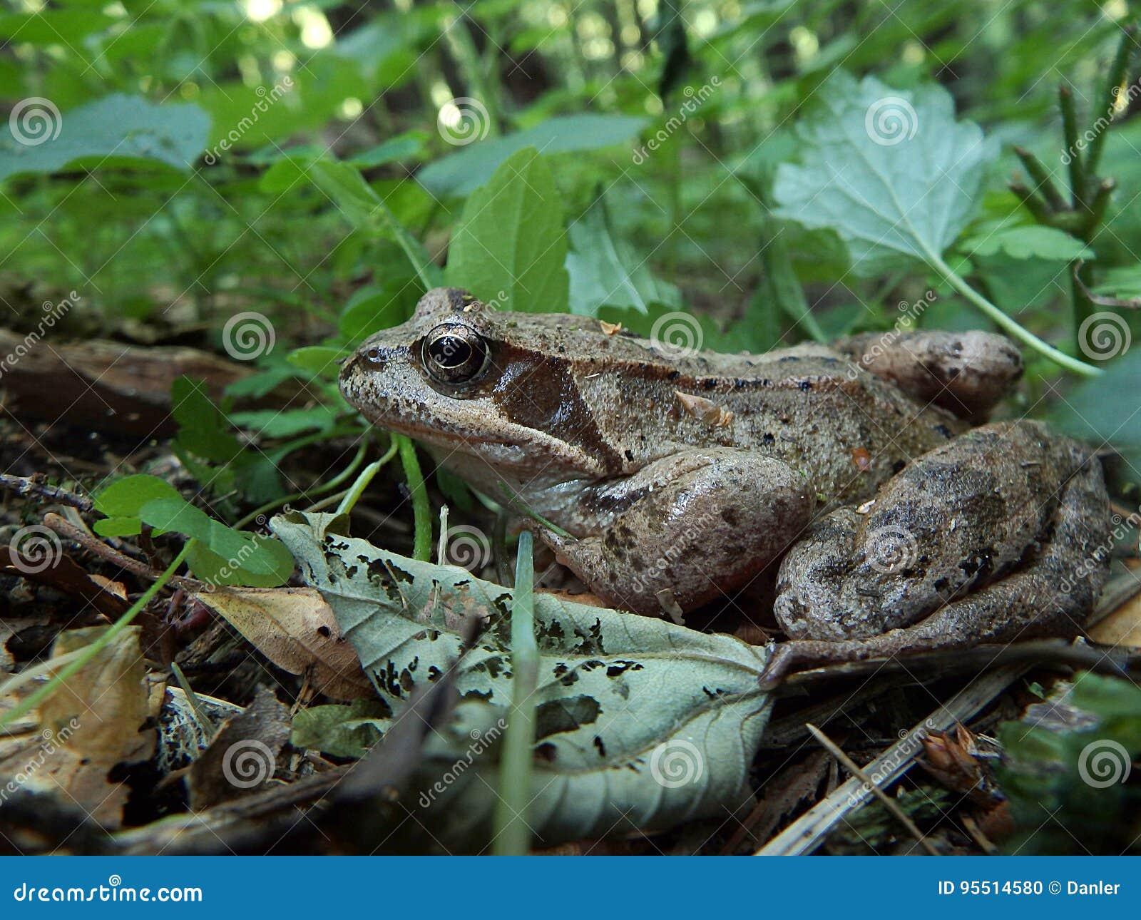 Лягушка - коричневый шлямбур
