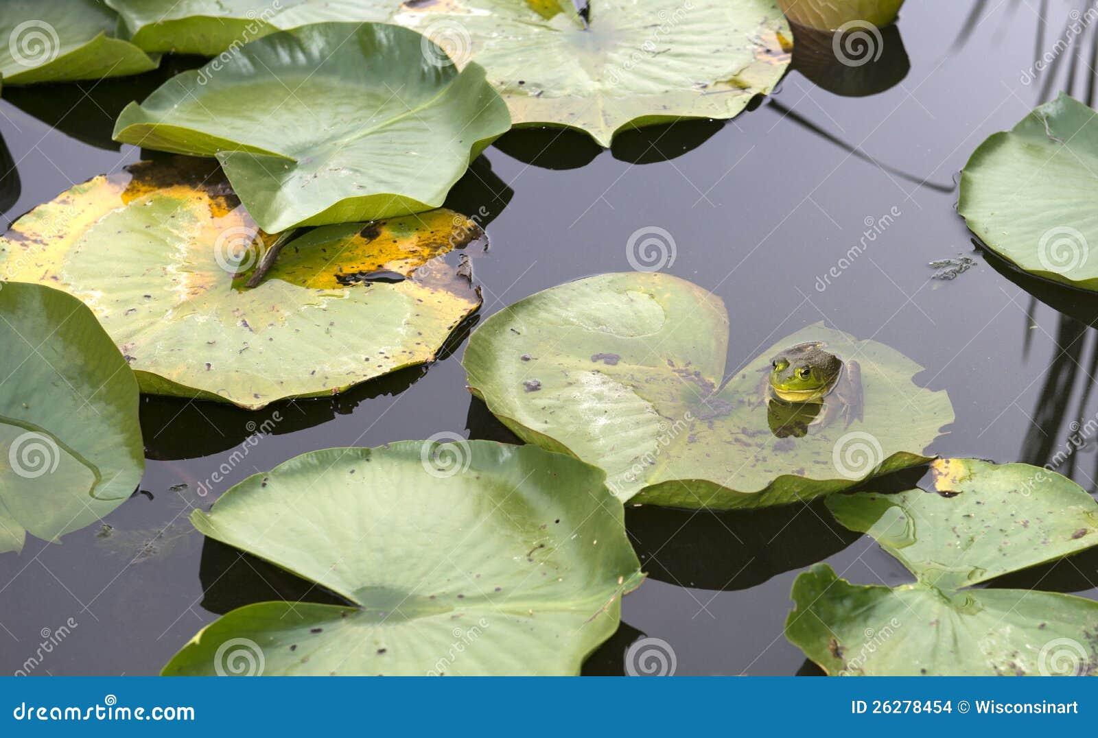 Лягушка на пусковой площадке лилии и воде пруда, природе, живой природе