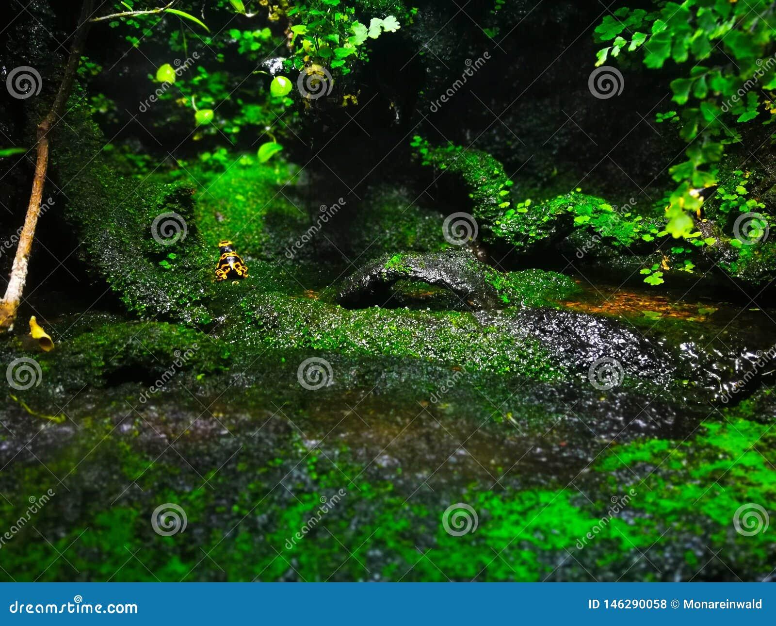 Лягушка отравы от Барселоны в аквариуме