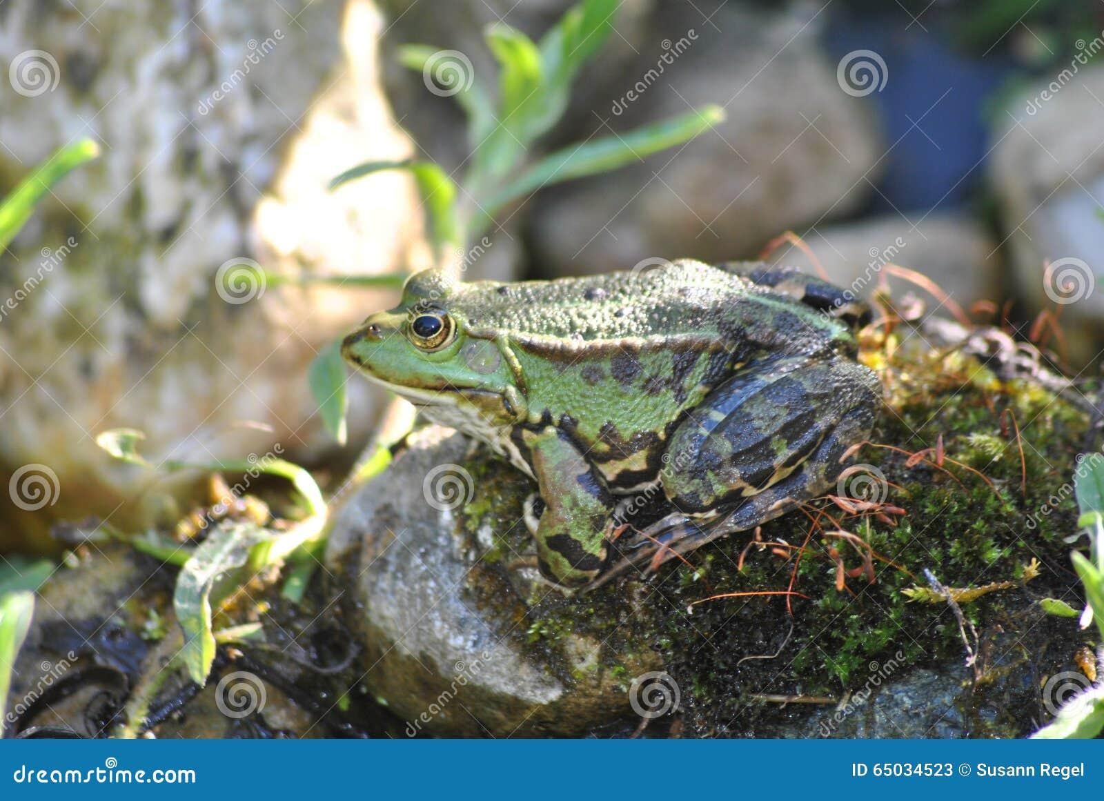 Лягушка сидя на камне