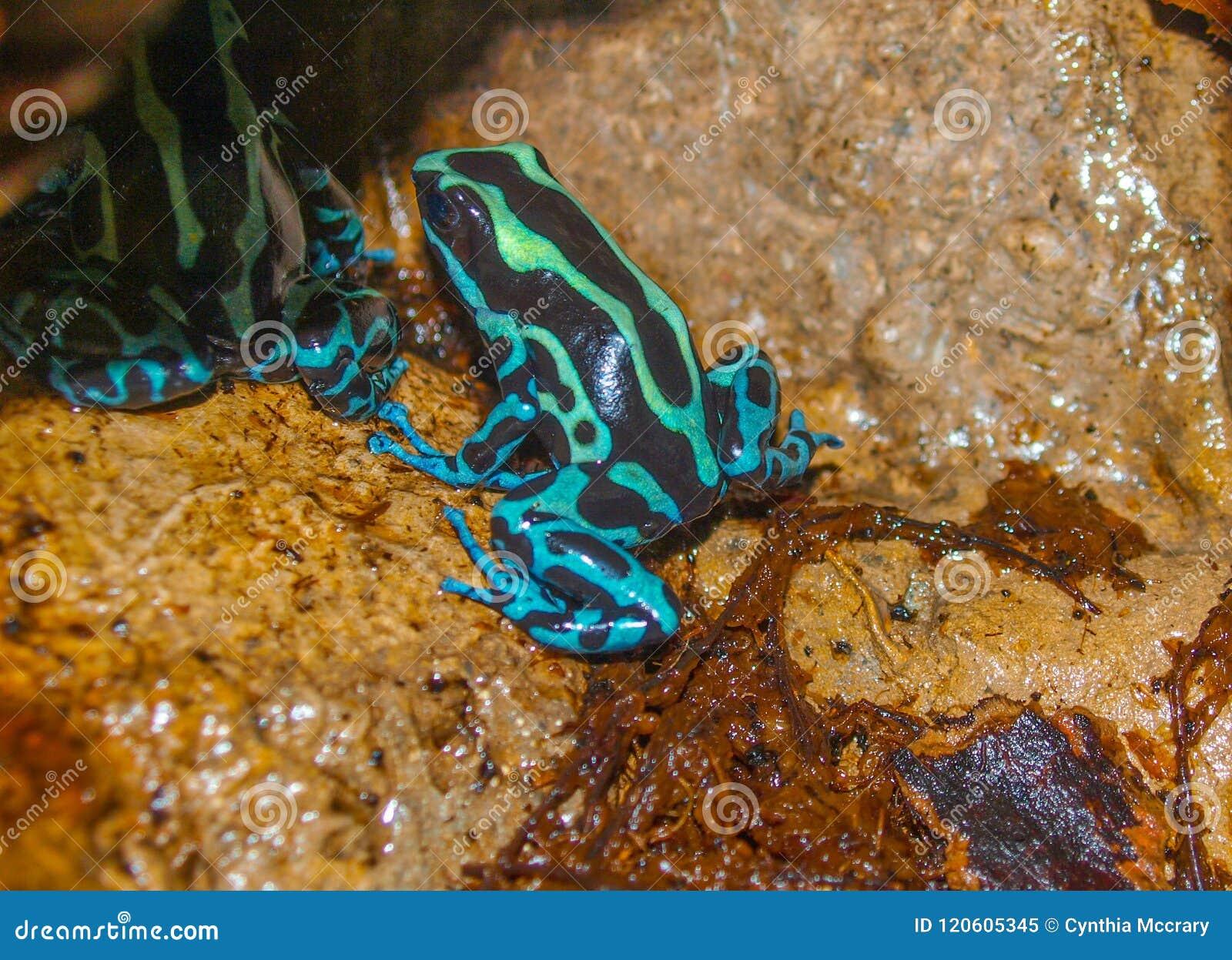 Лягушка Dendrobatidae дротика отравы