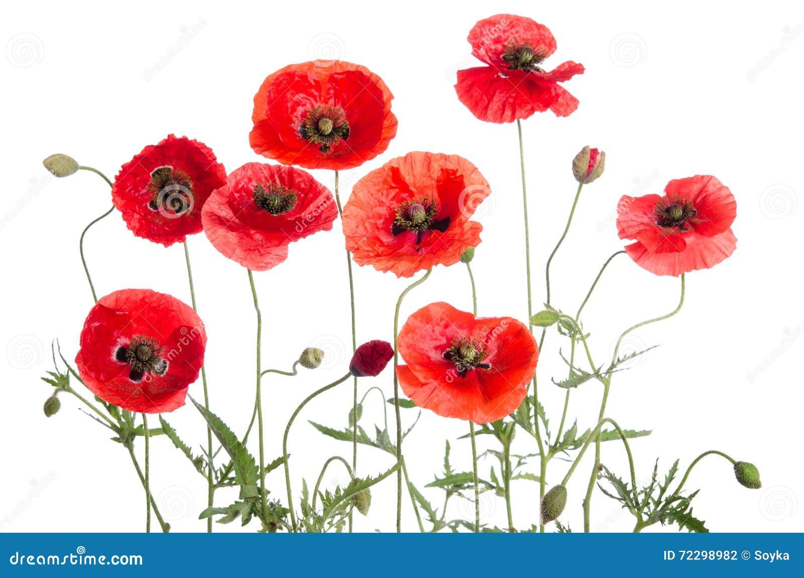 Download маки красные стоковое фото. изображение насчитывающей поле - 72298982