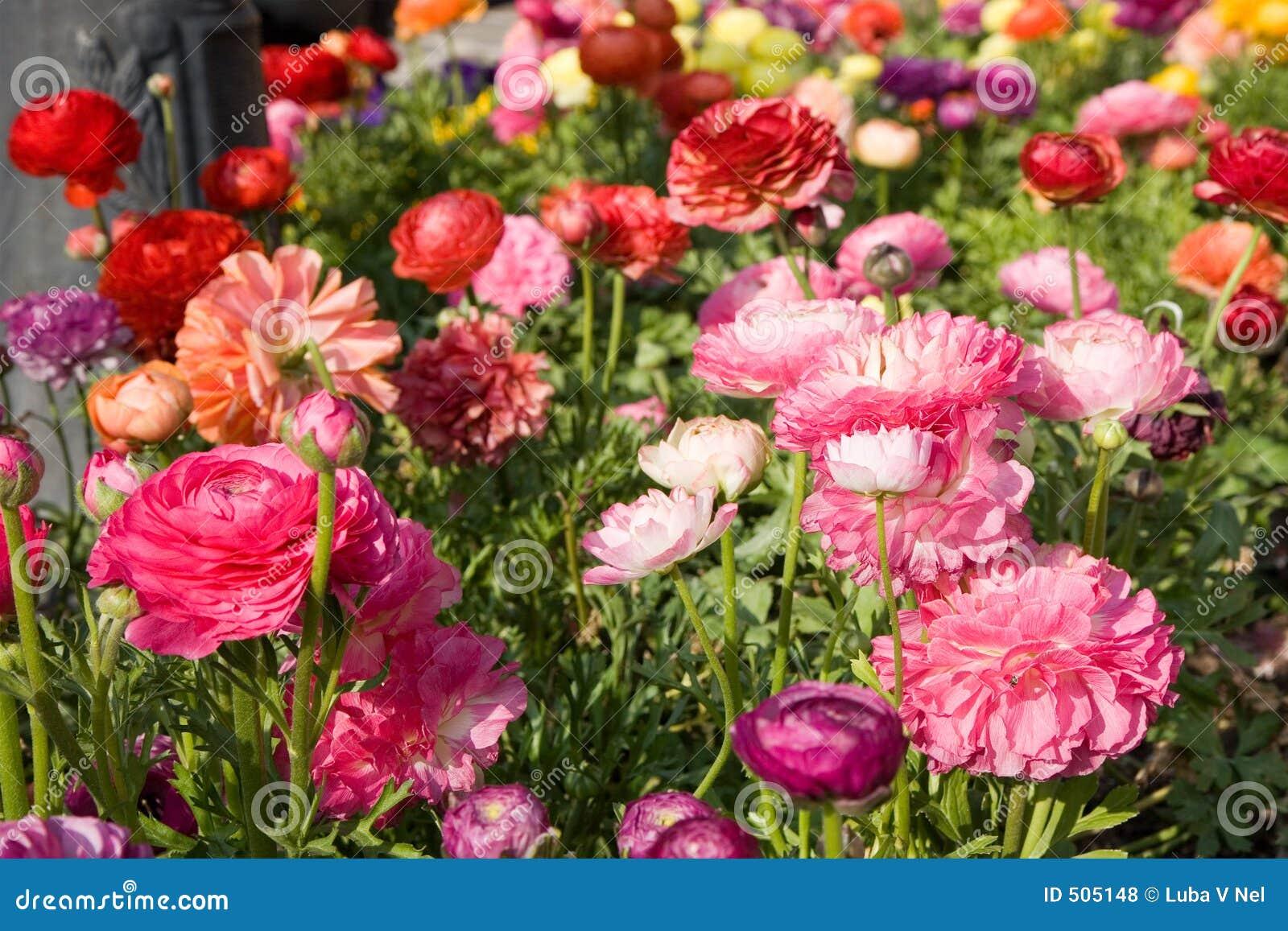 маки цветка кровати