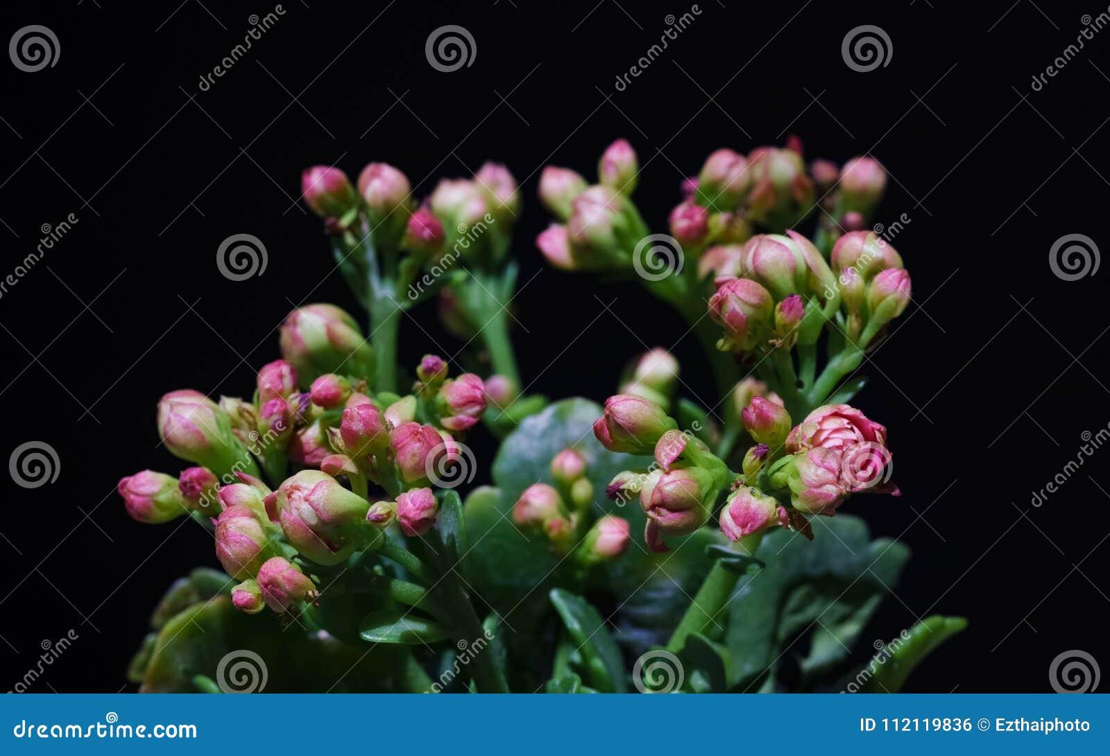 Макрос близкий вверх завода Kalanchoe розового цветка тропического суккулентного