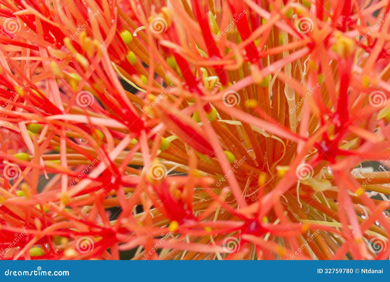 Макрос лилии файрбола