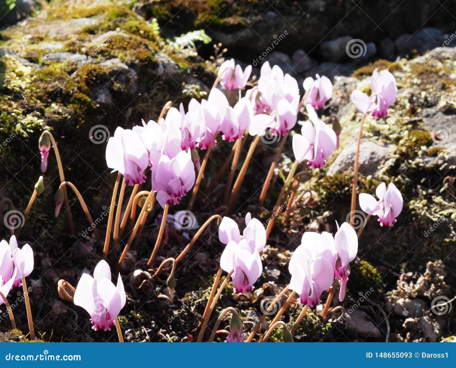 Макрос снятый розовых цветков Cyclamen в rockery